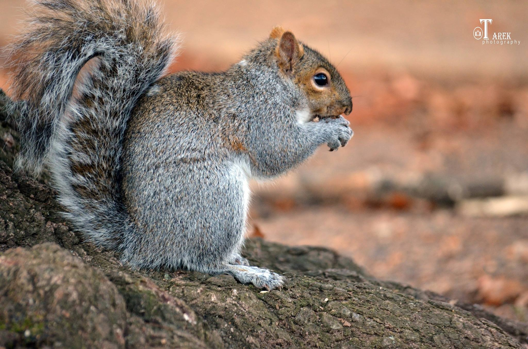 Squirrel by Tarek Ibrahem