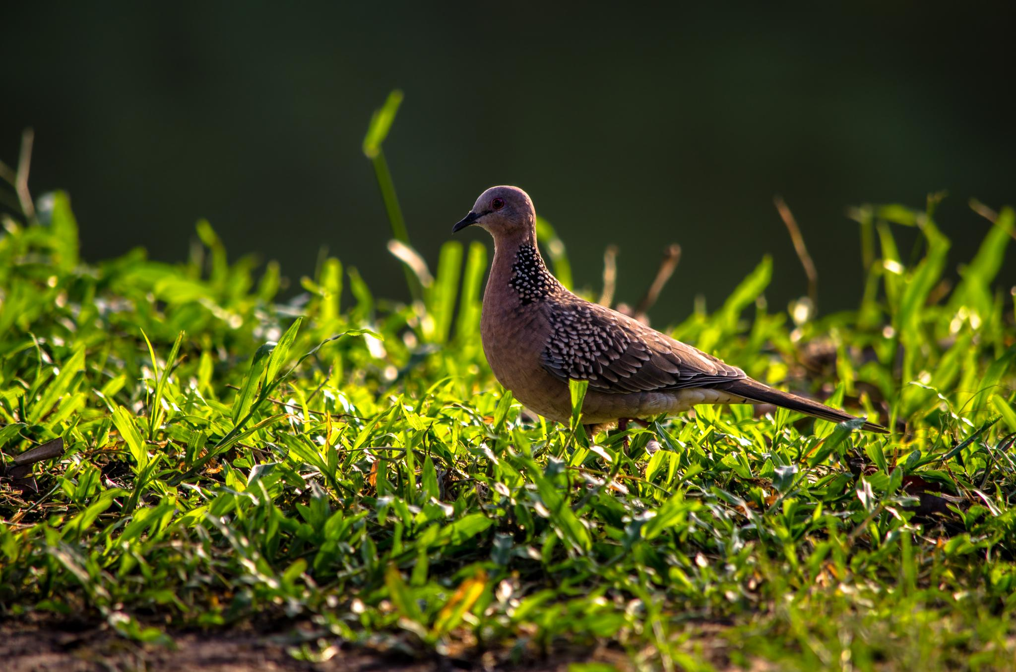 Spotted Dove by Iqbal Sohel