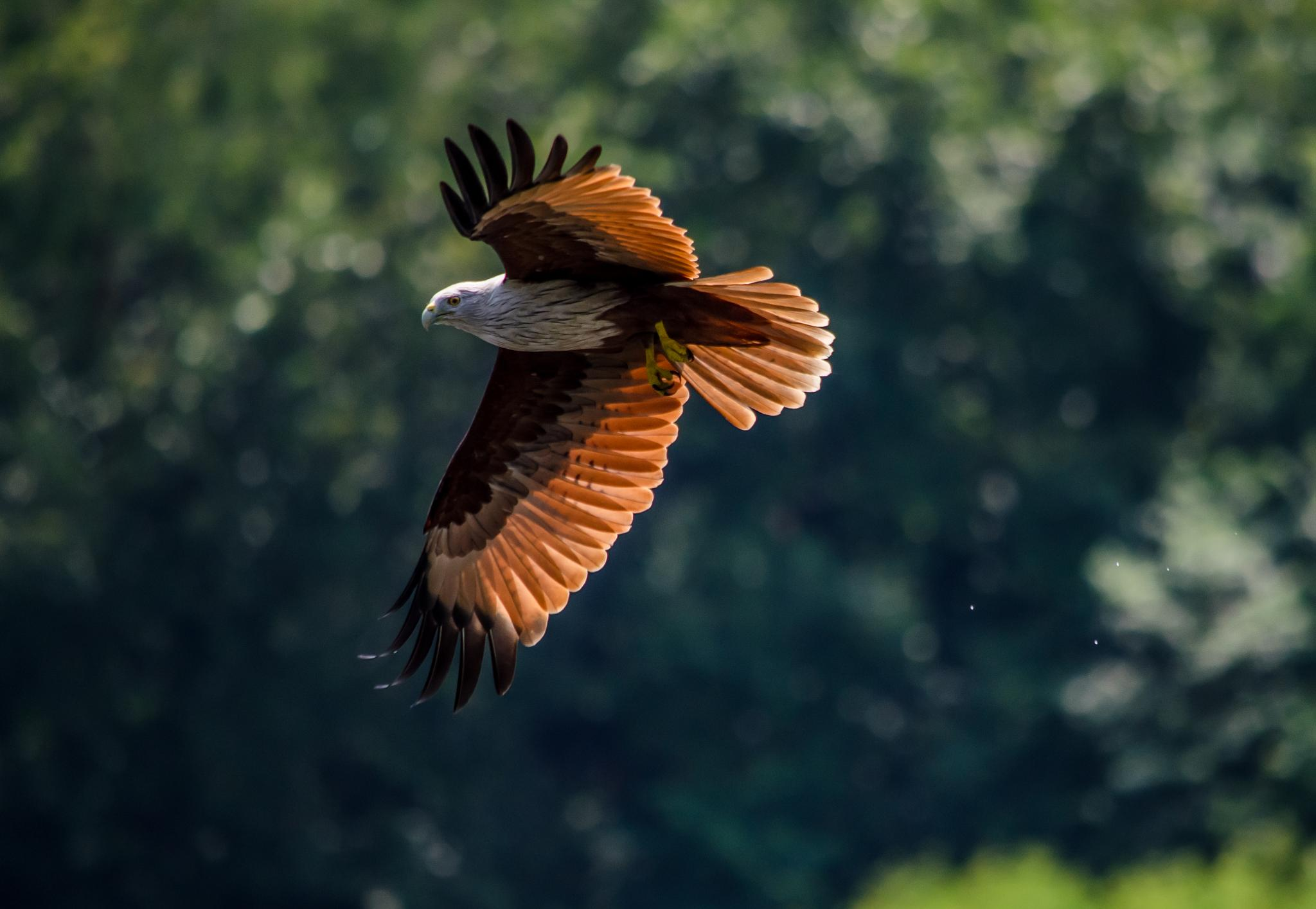 Brahminy kite  by Iqbal Sohel
