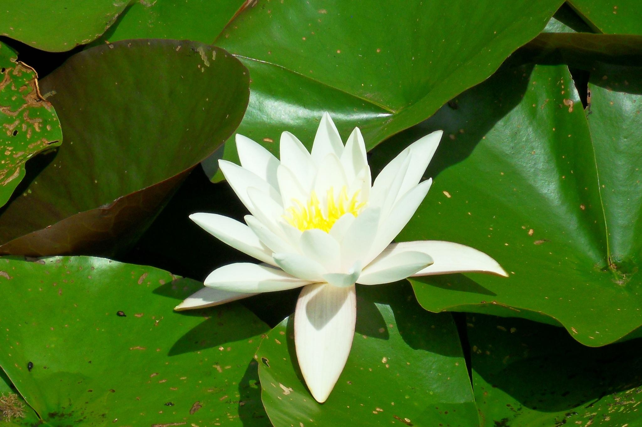 Water lily by Barbara Bumm