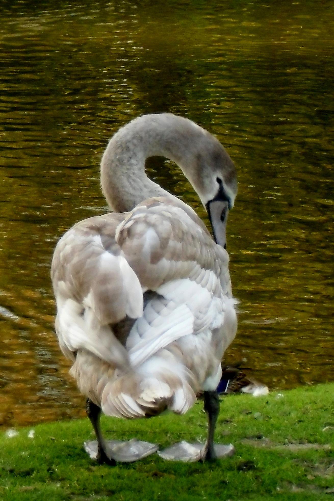Grey swan by Barbara Bumm