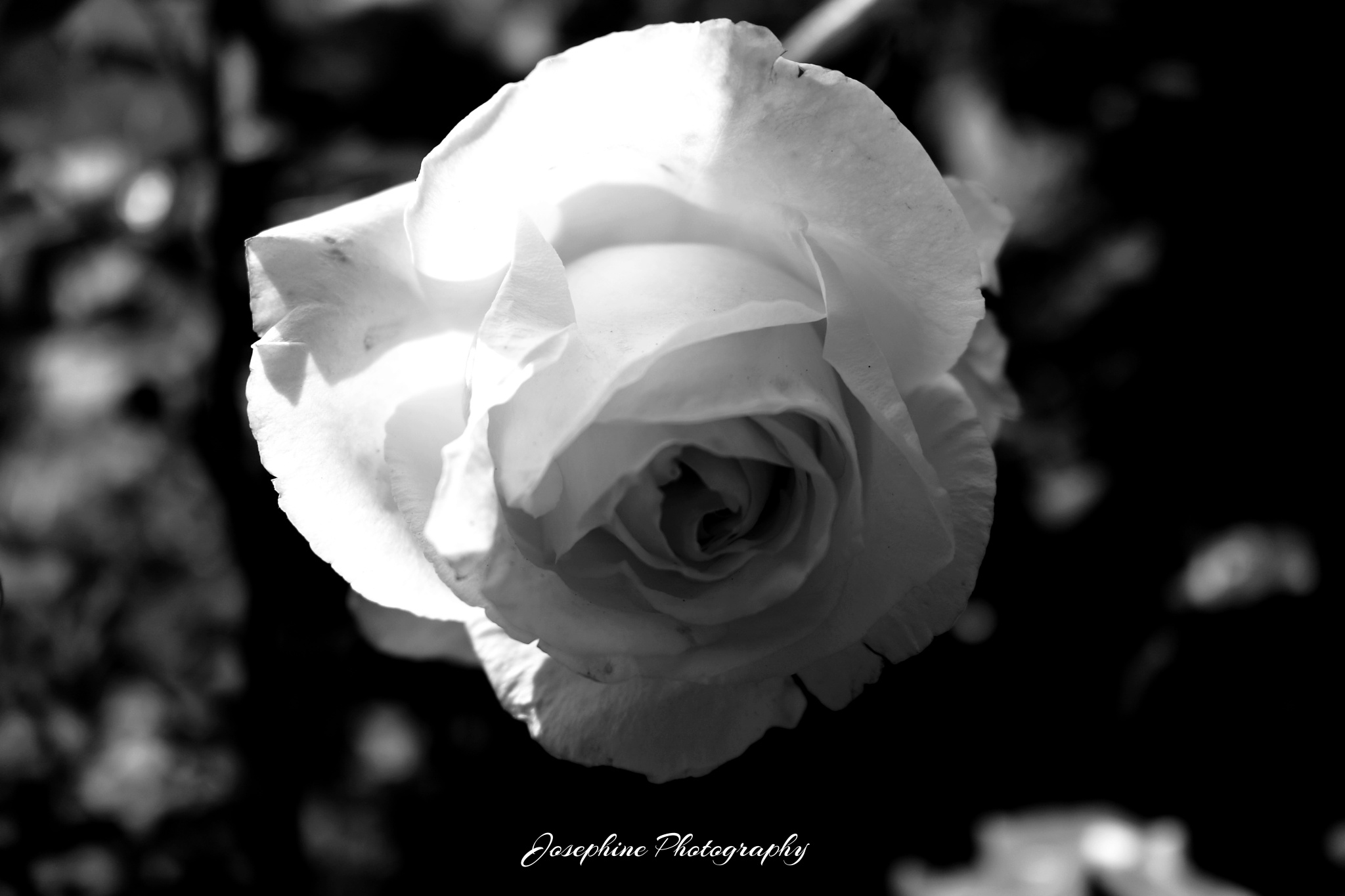 black and white rose by Josephine