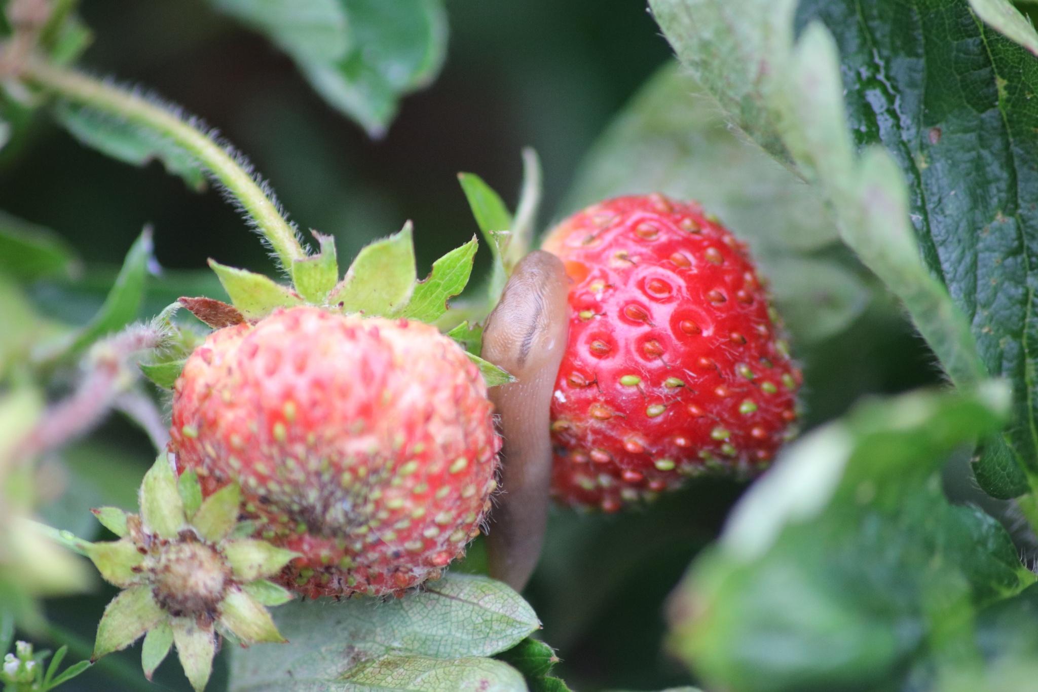 slug on strawberry  by Josephine