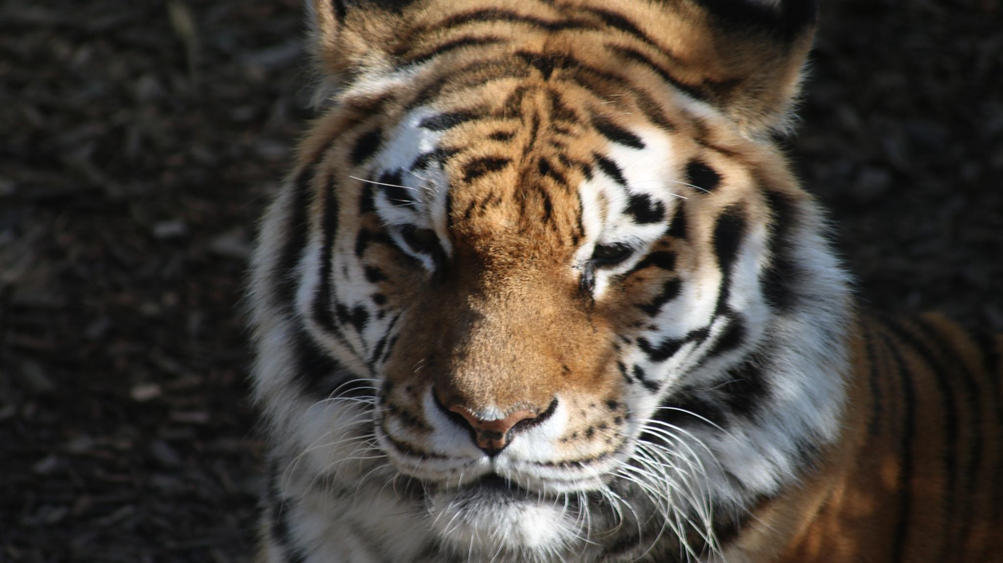 Tiger by Josephine