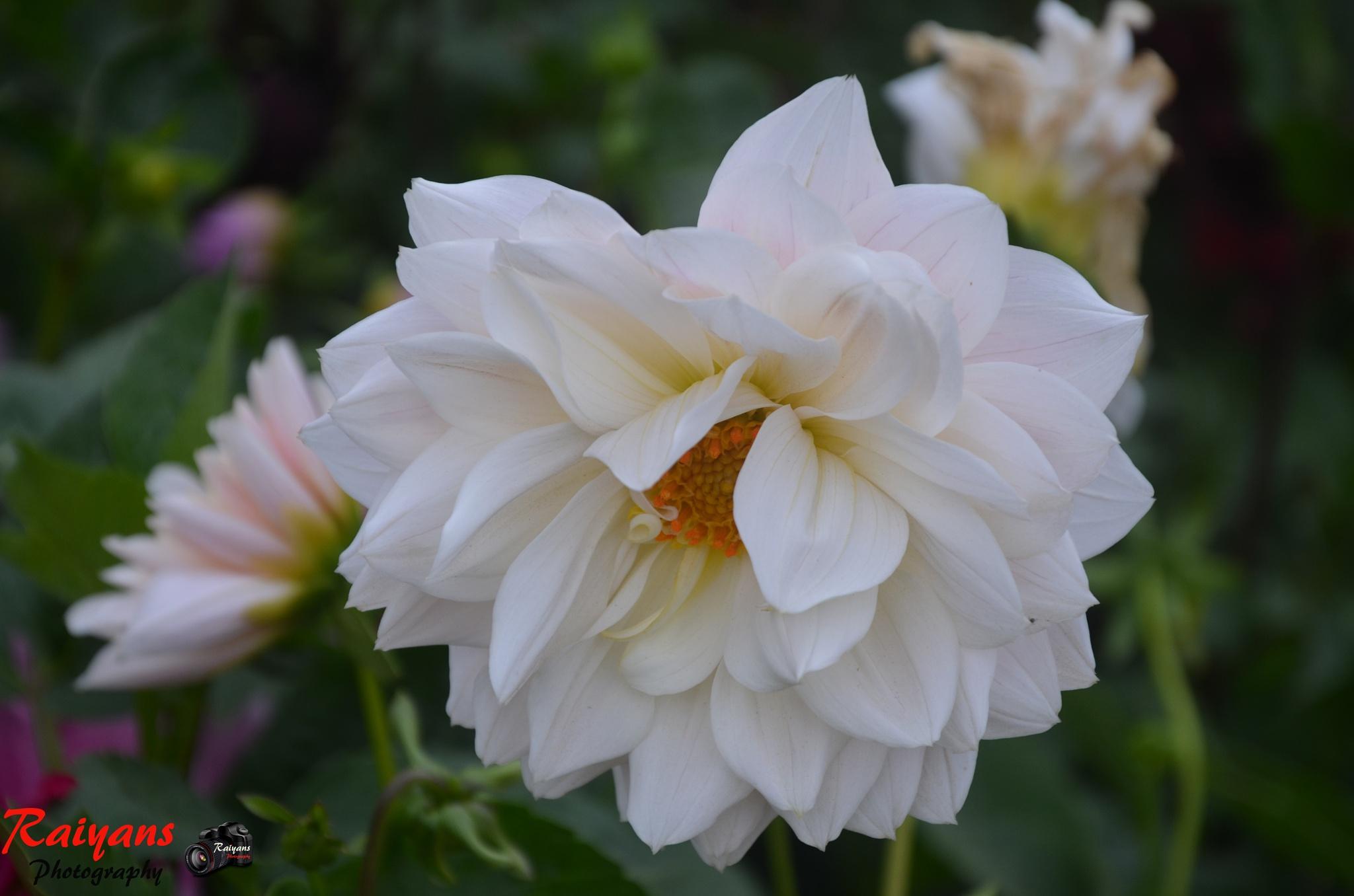 White Rosa by Raïyan Fahïm