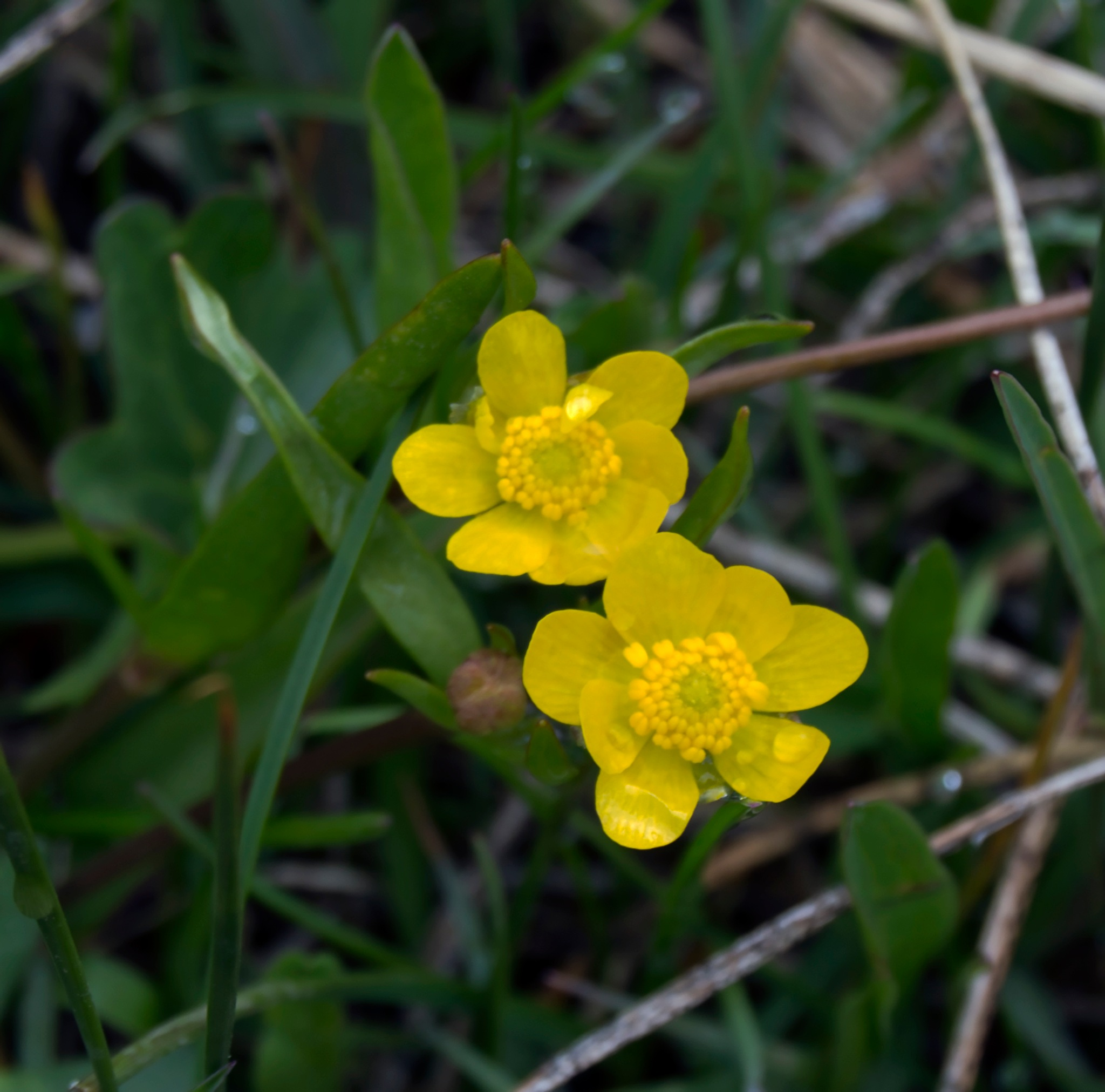 Buttercups by Neal Lacroix