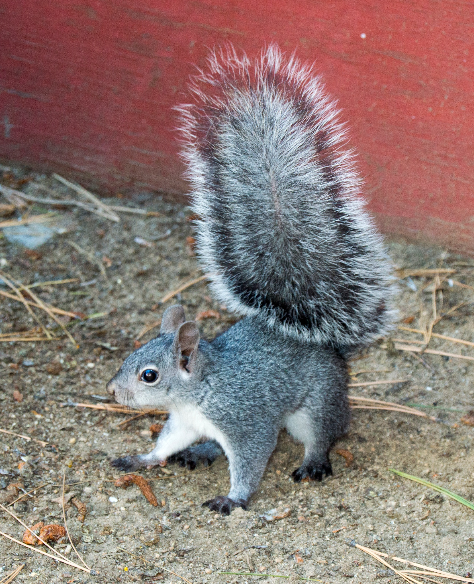 Photo in Animal #gray squirrel #squirrel #rodent #wall #wood #dirt #gray #black #white #brown #red