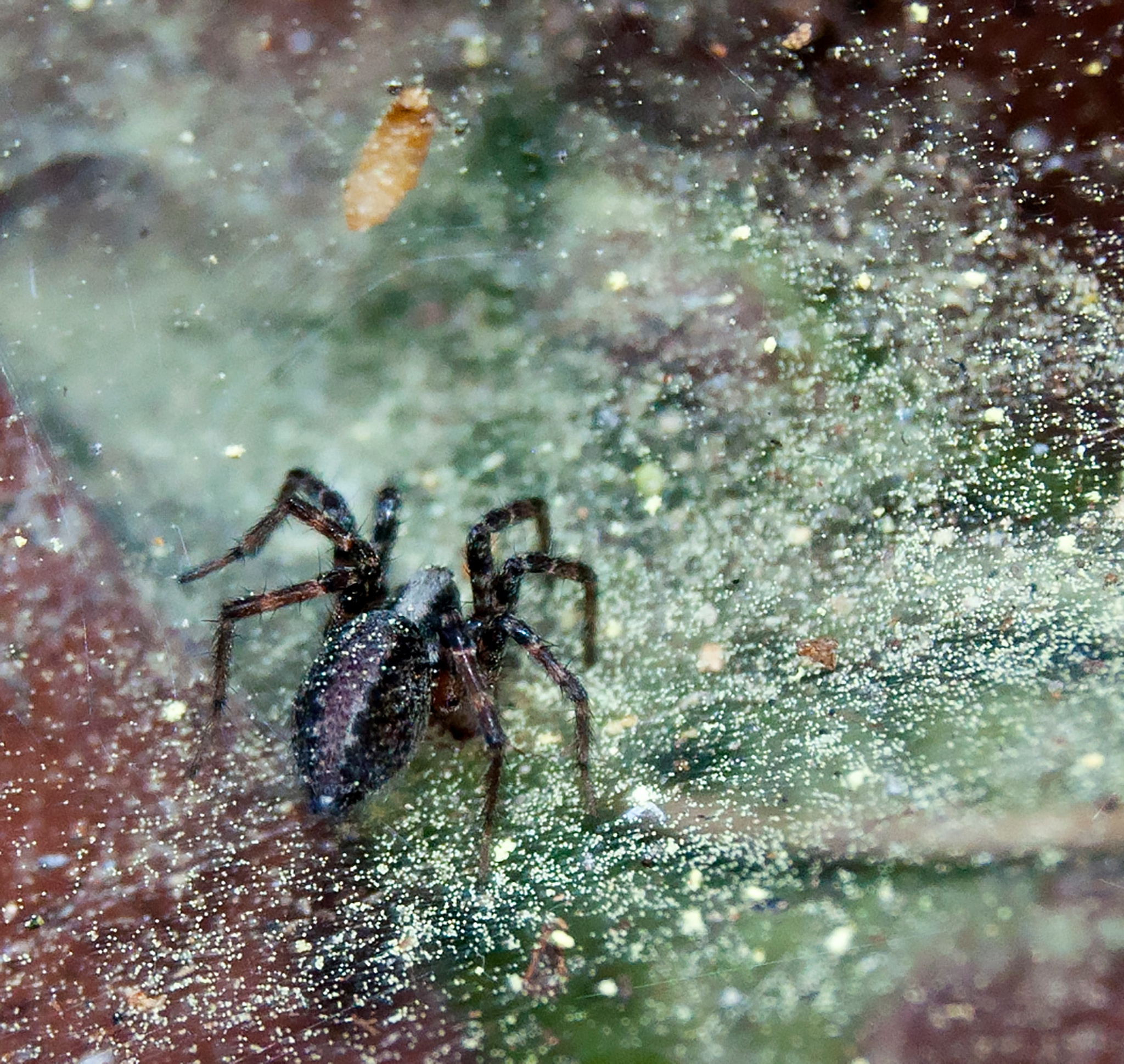 Spider by Neal Lacroix