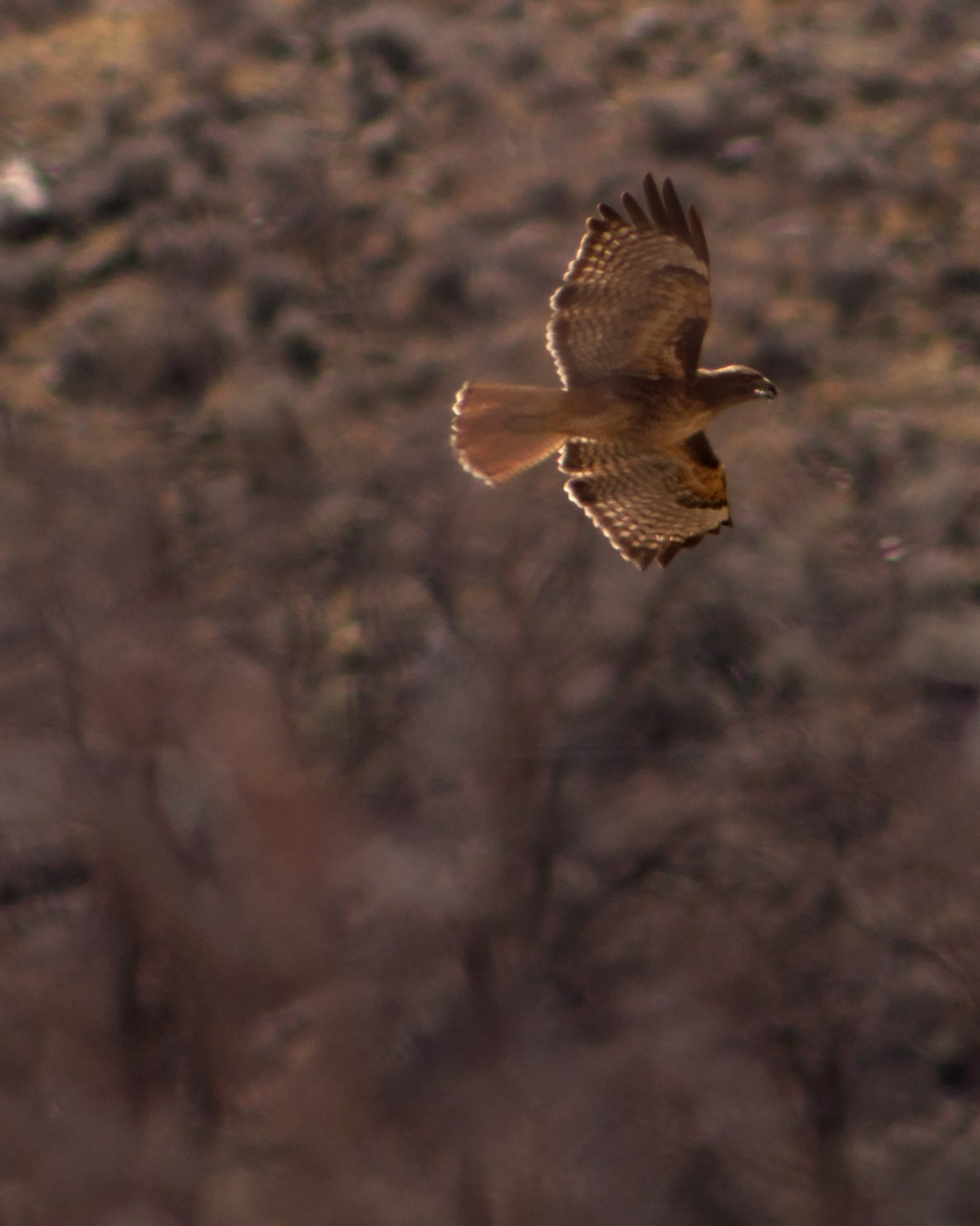 Red Tailed Hawk by Neal Lacroix