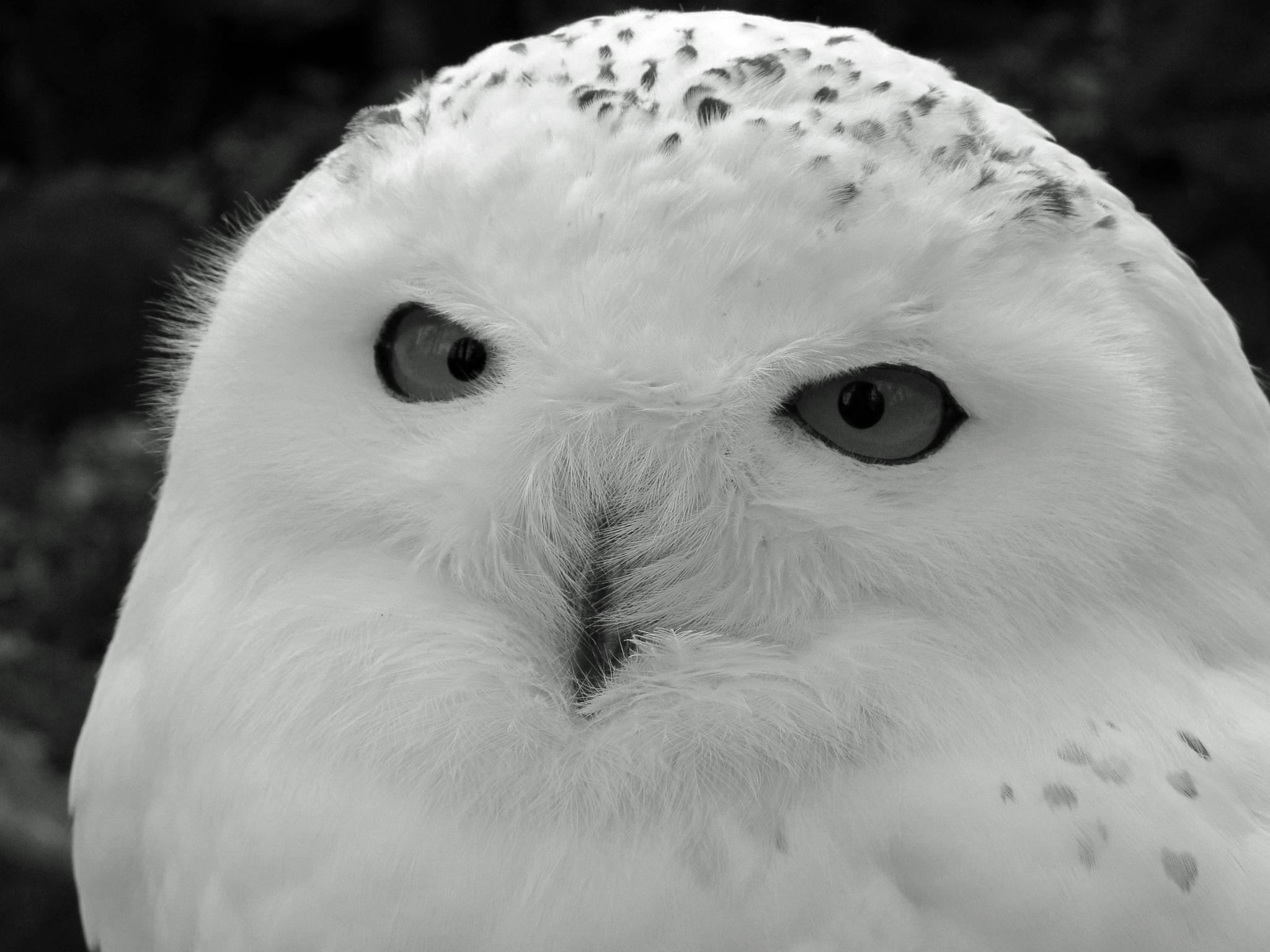 white owl by Elli