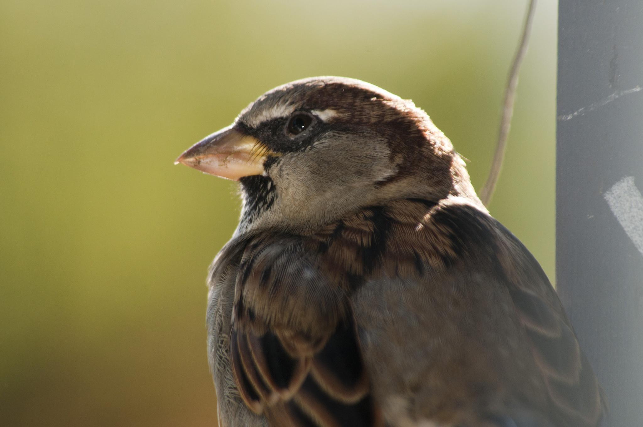 Sparrow 02 by Jay Hurd