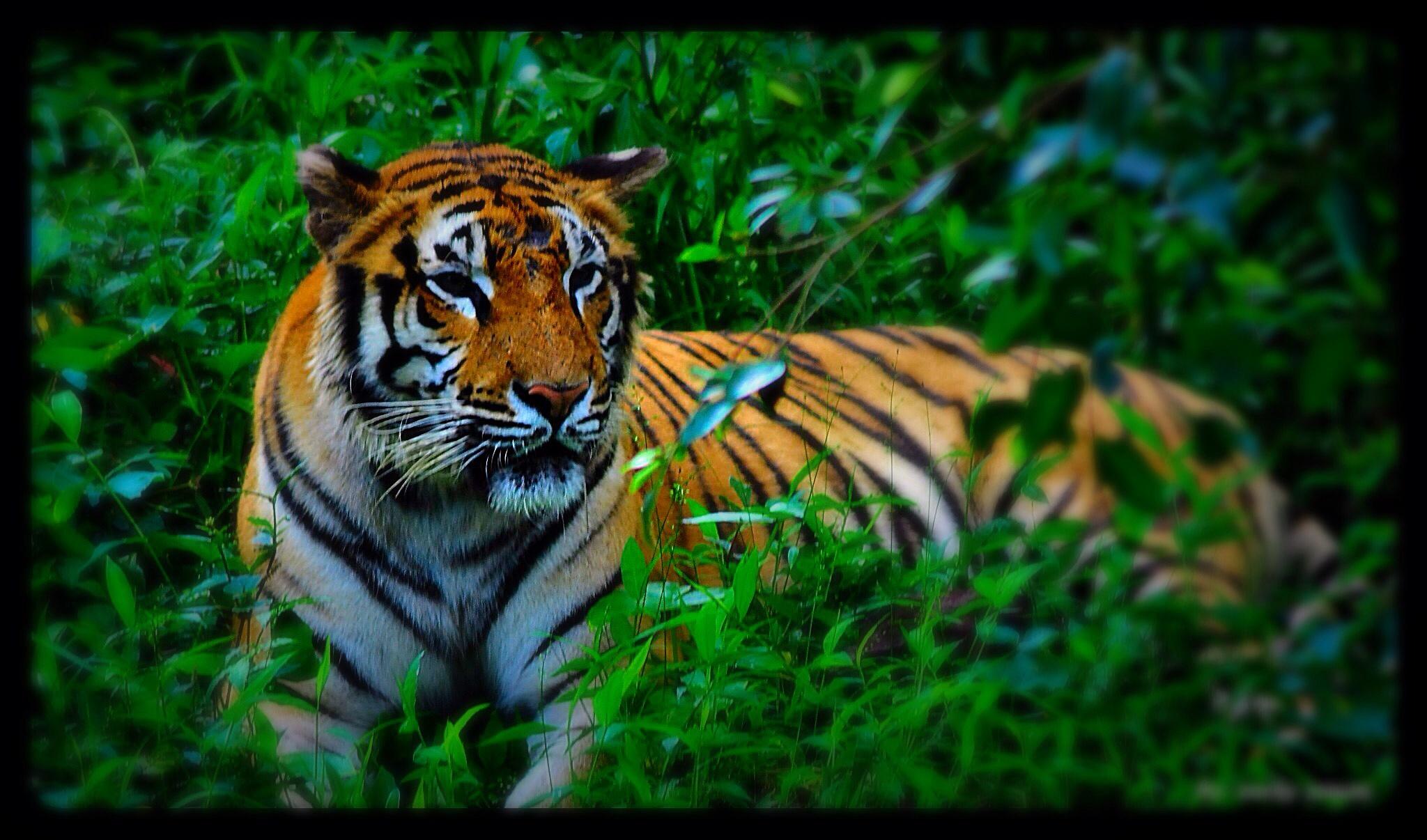 Tiger of sumatra by Muzakir Jawas