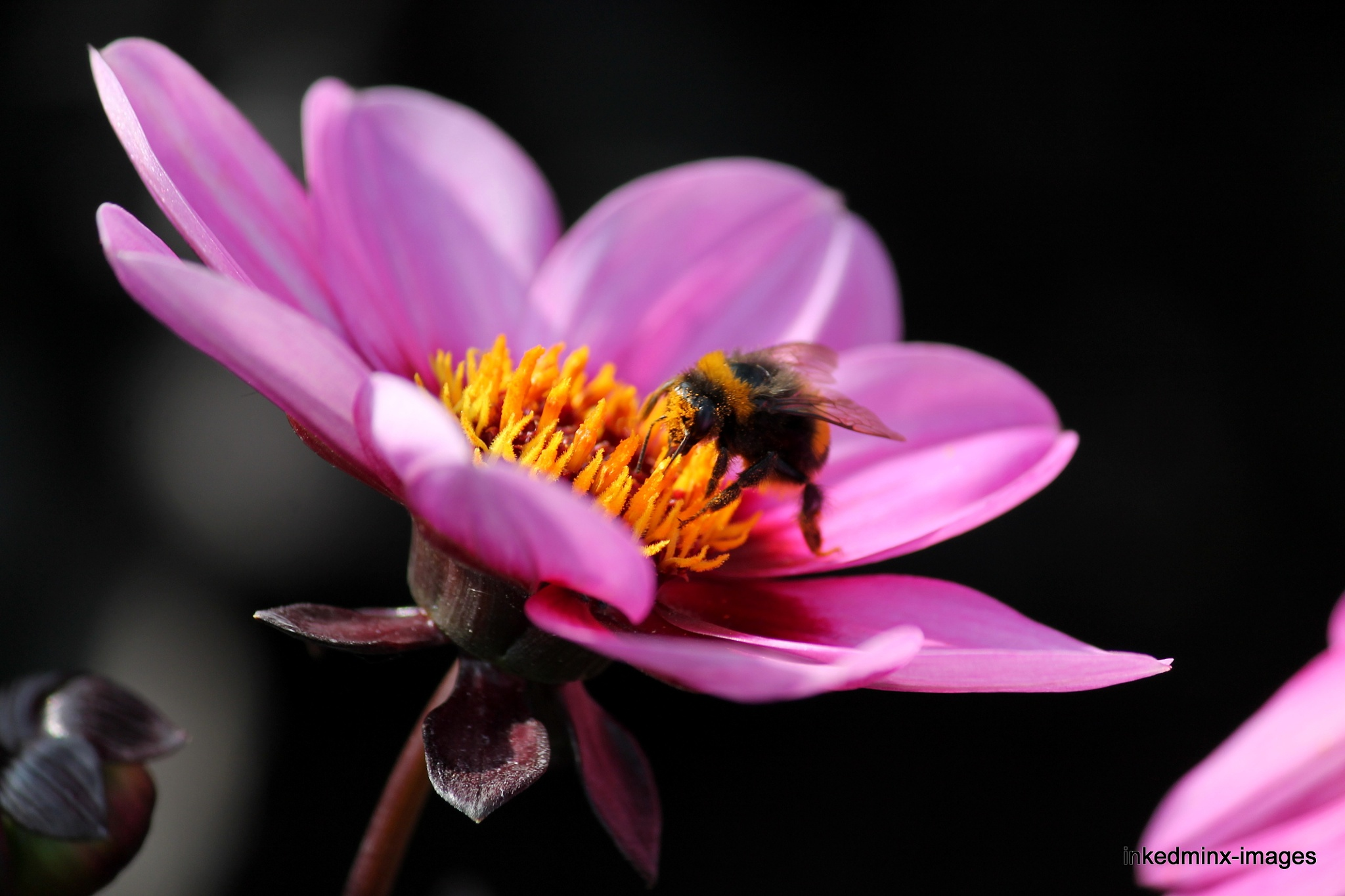 The Amber nectar by Miranda Inked-minx Watkins
