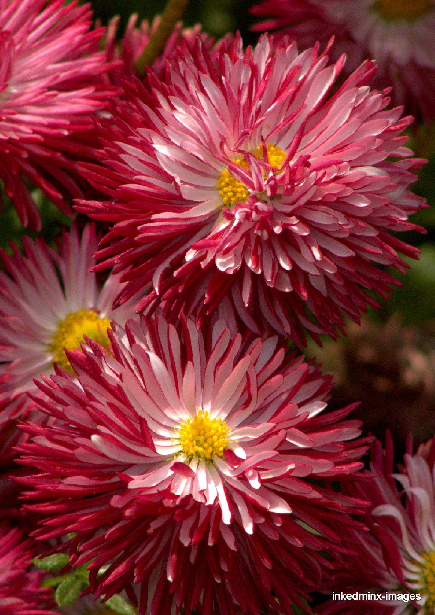 bells daisy by Miranda Inked-minx Watkins