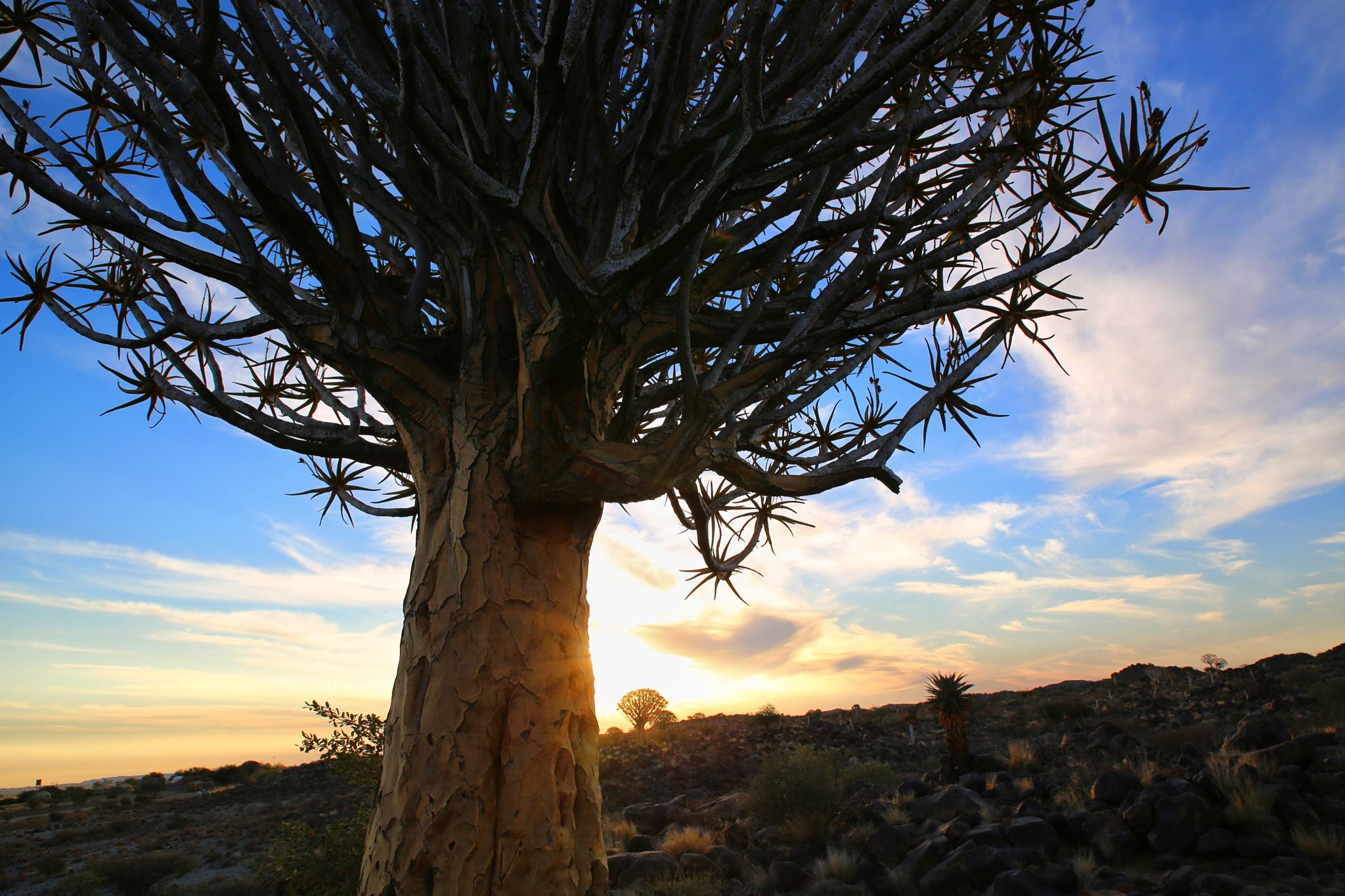 Quiver tree by Kjersti Holmang