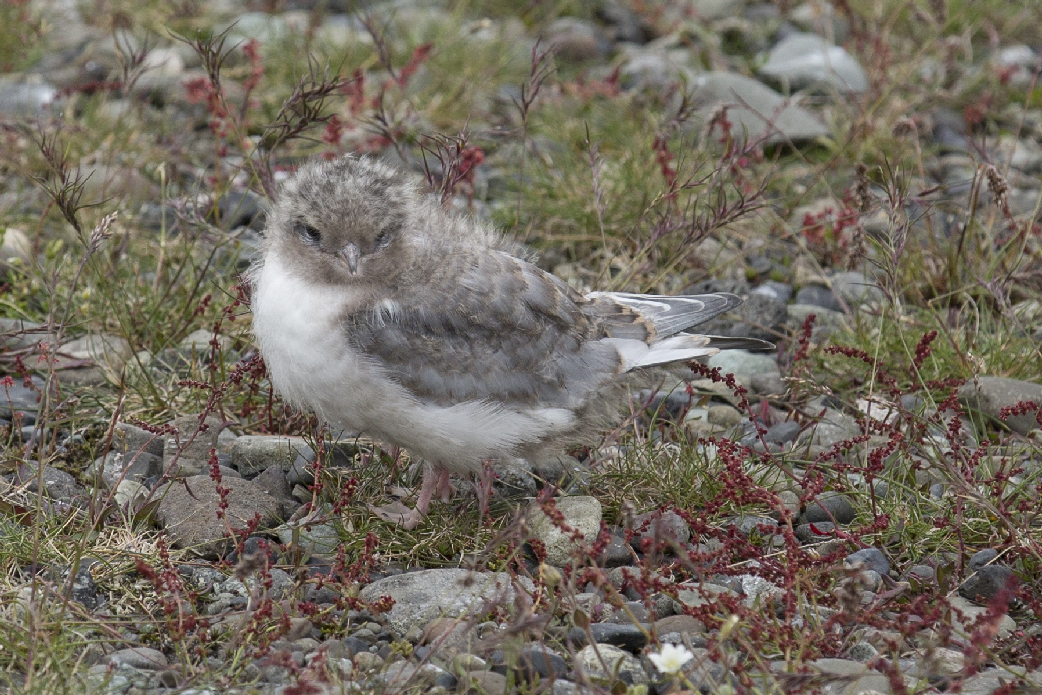 Arctic Tern Chick by Venture Off Road
