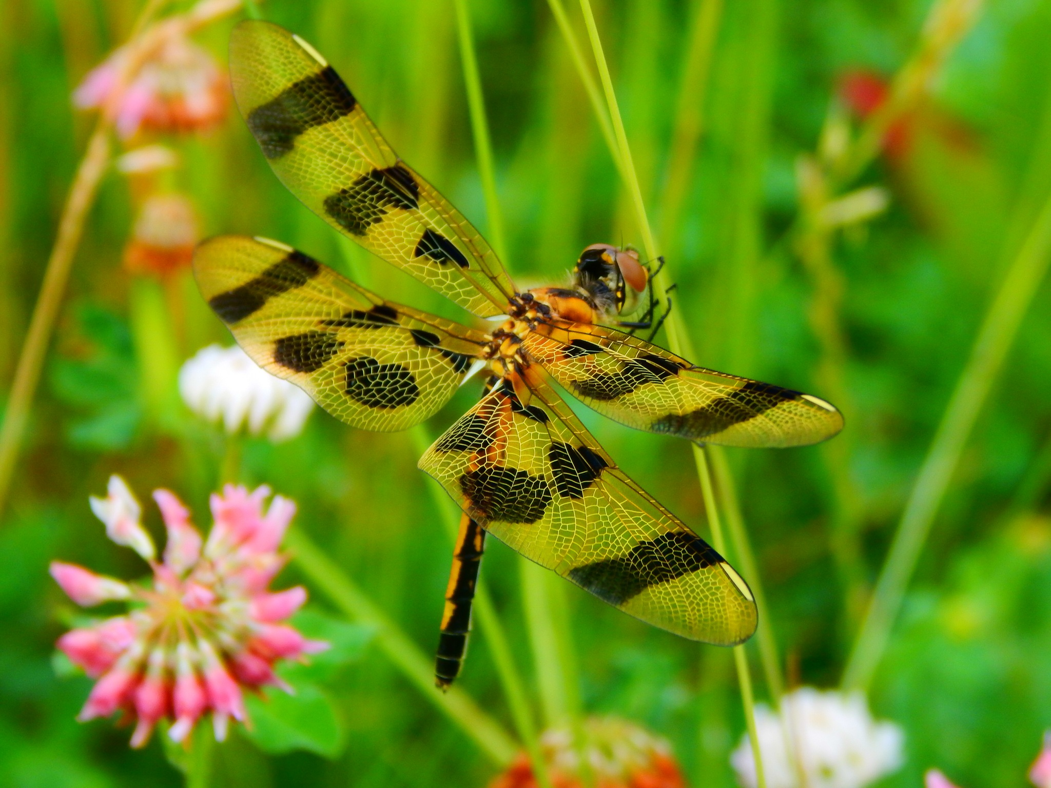 Photo in Animal #dragonfly #insect #animal #nature