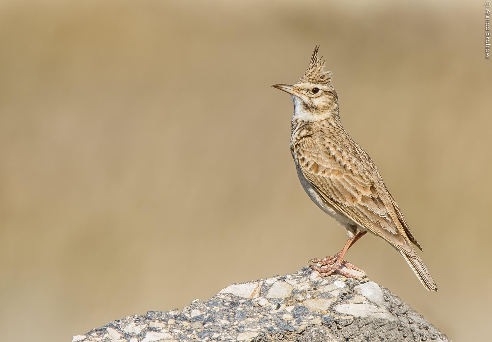 Crested Lark by Ahmed Elkahlawi