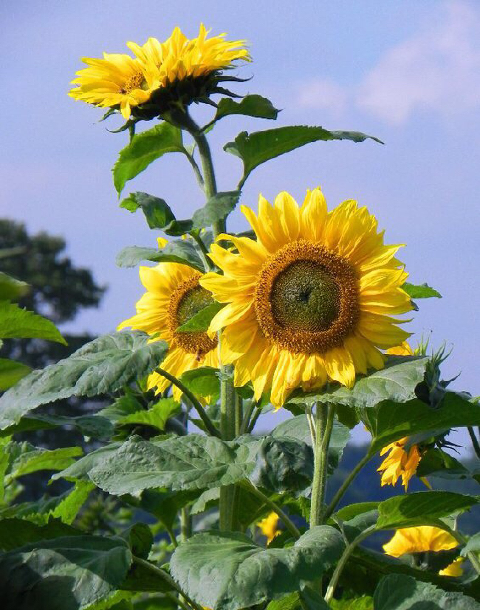 Sunflowers by Peter Stowell