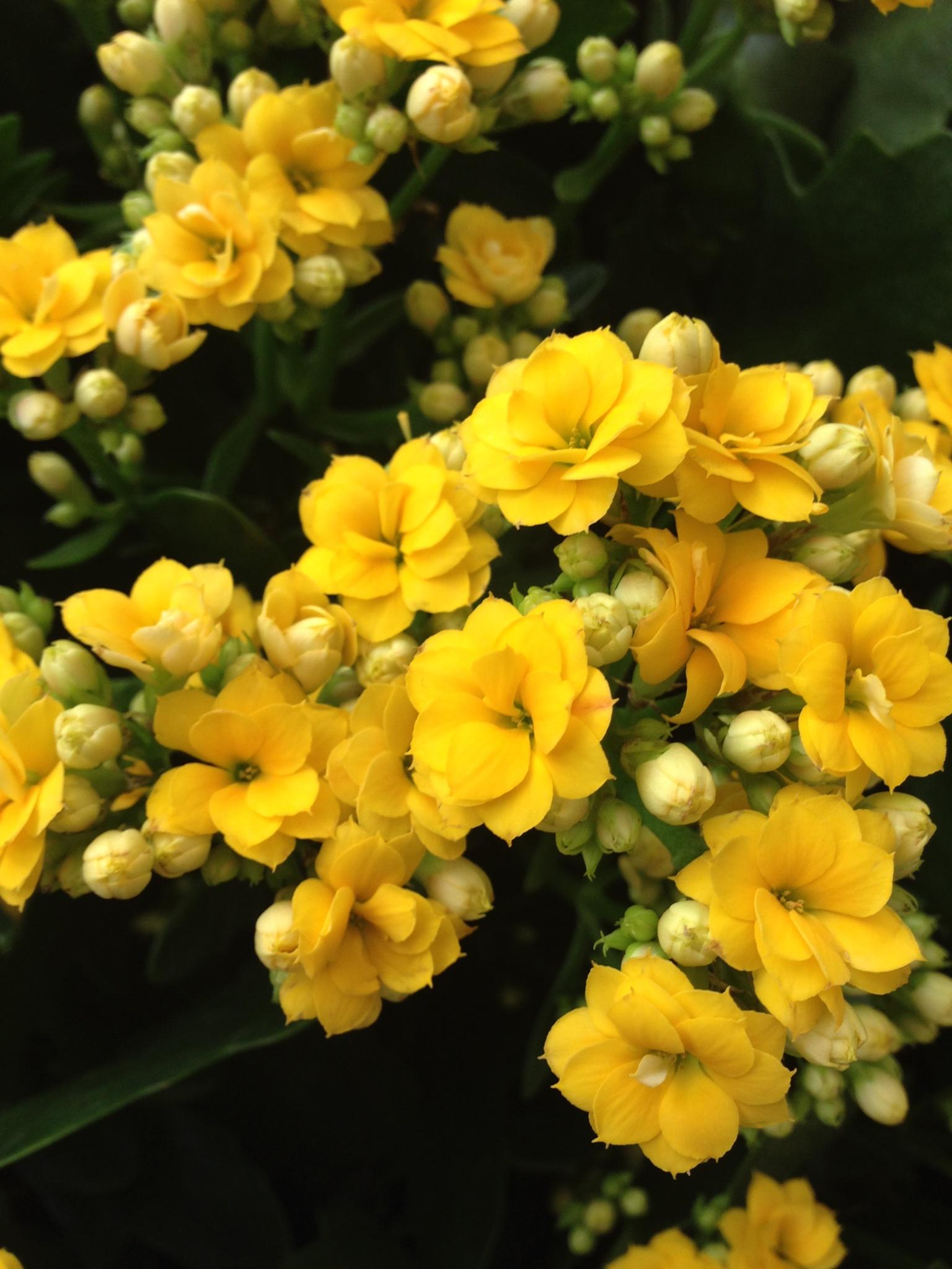 Flores amarelas  by Adriana Silva Bruns