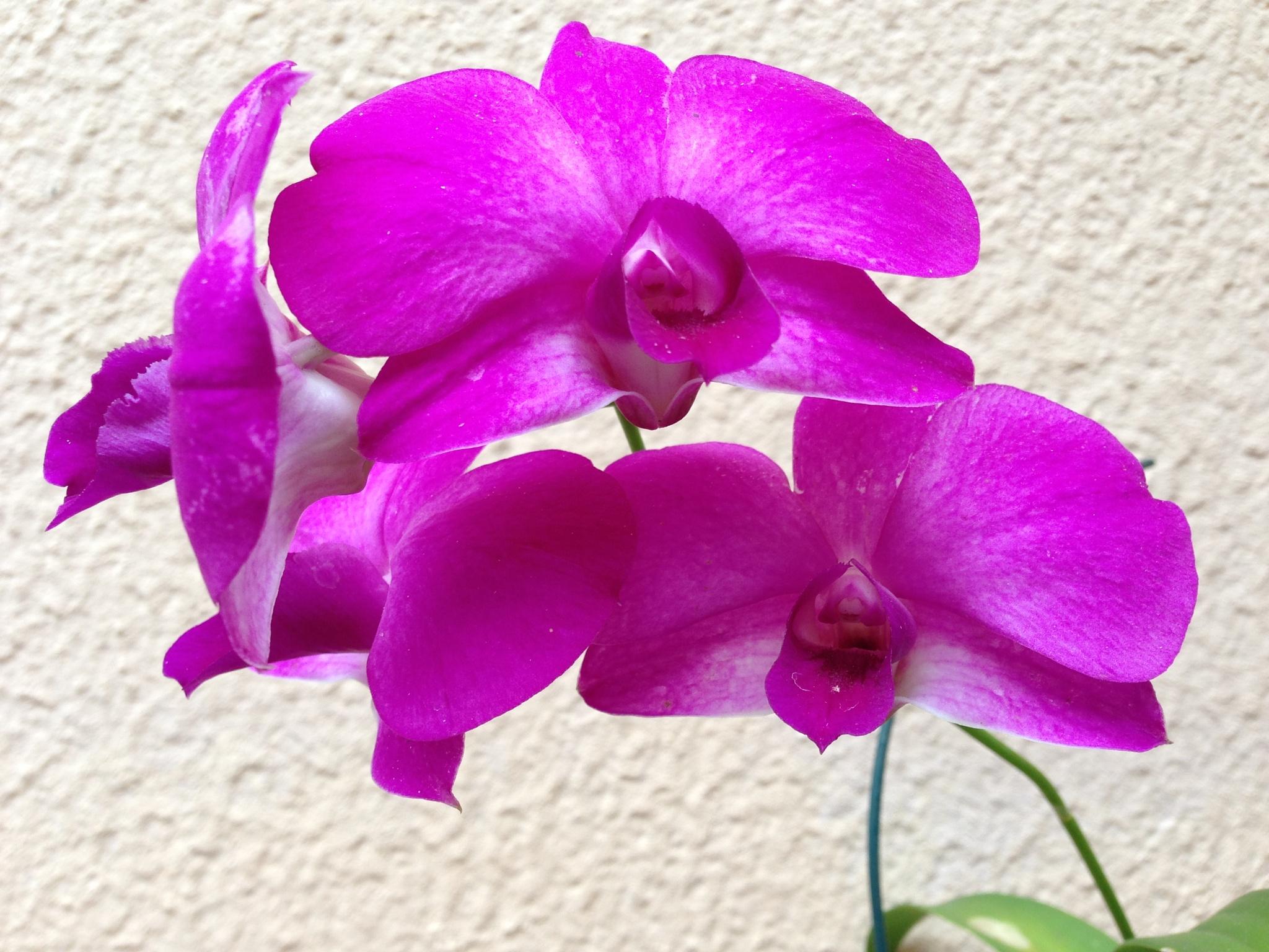 Orquidea by Adriana Silva Bruns