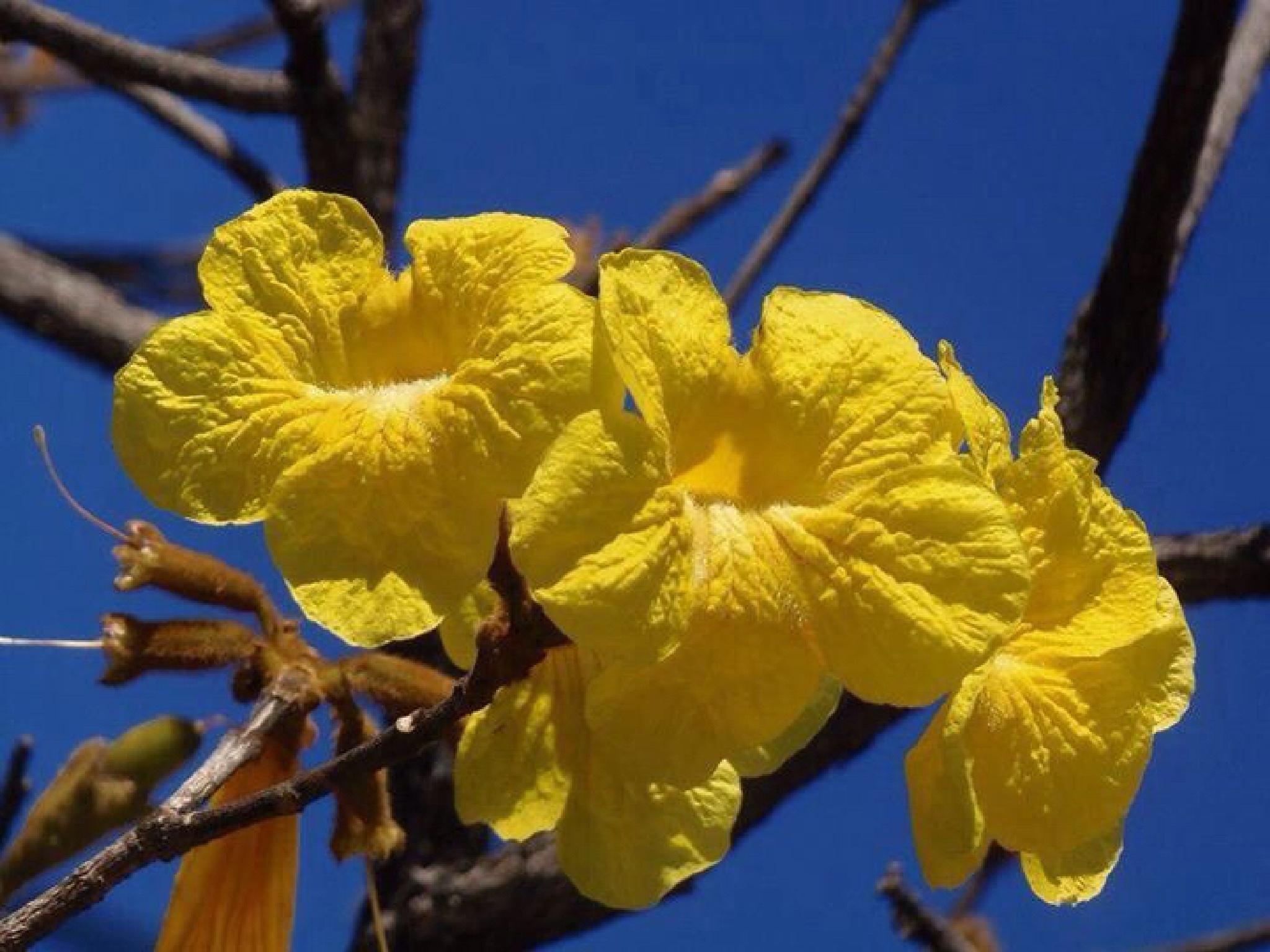 Ipê amarelo by Adriana Silva Bruns