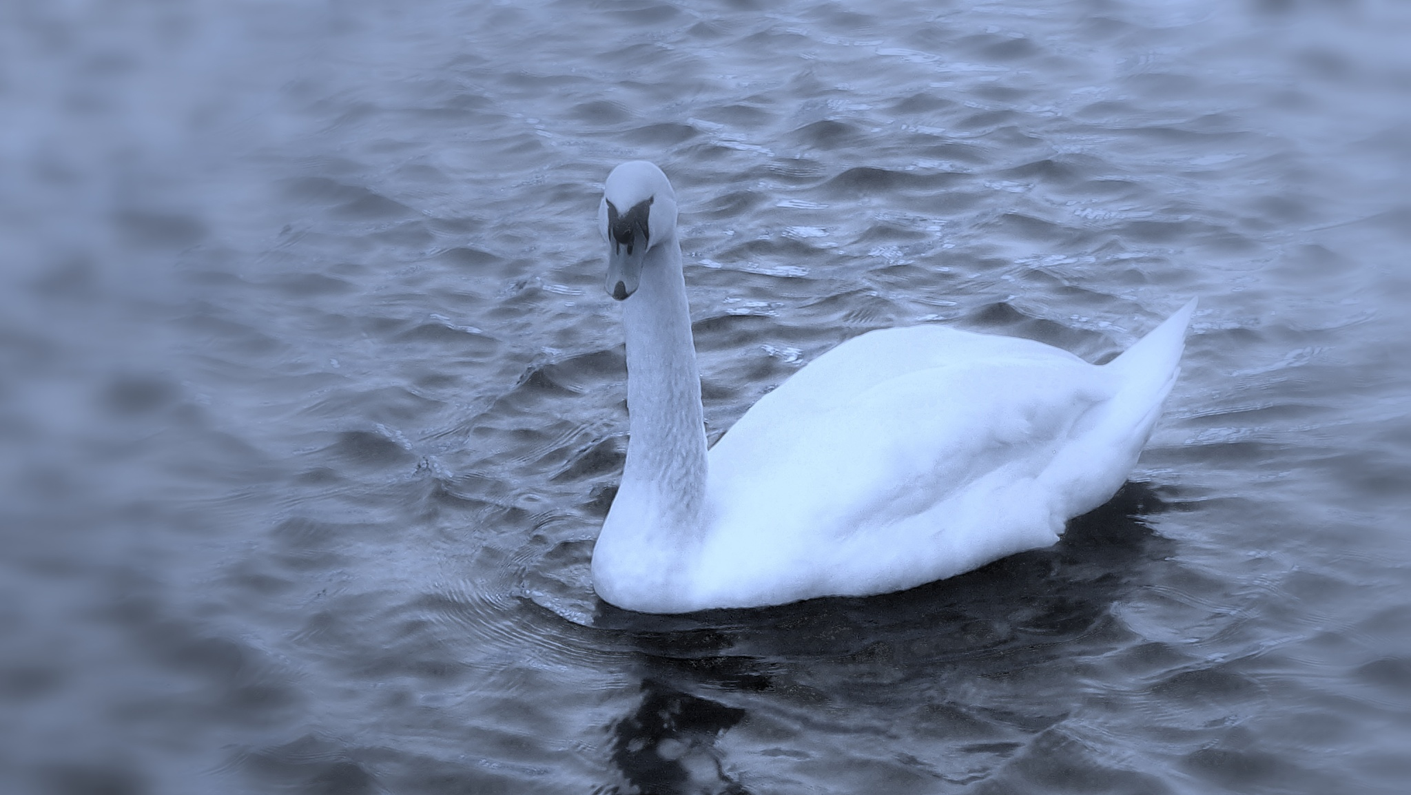 The handsome swan of Limmat River by Rudy Tarrazona Guacena