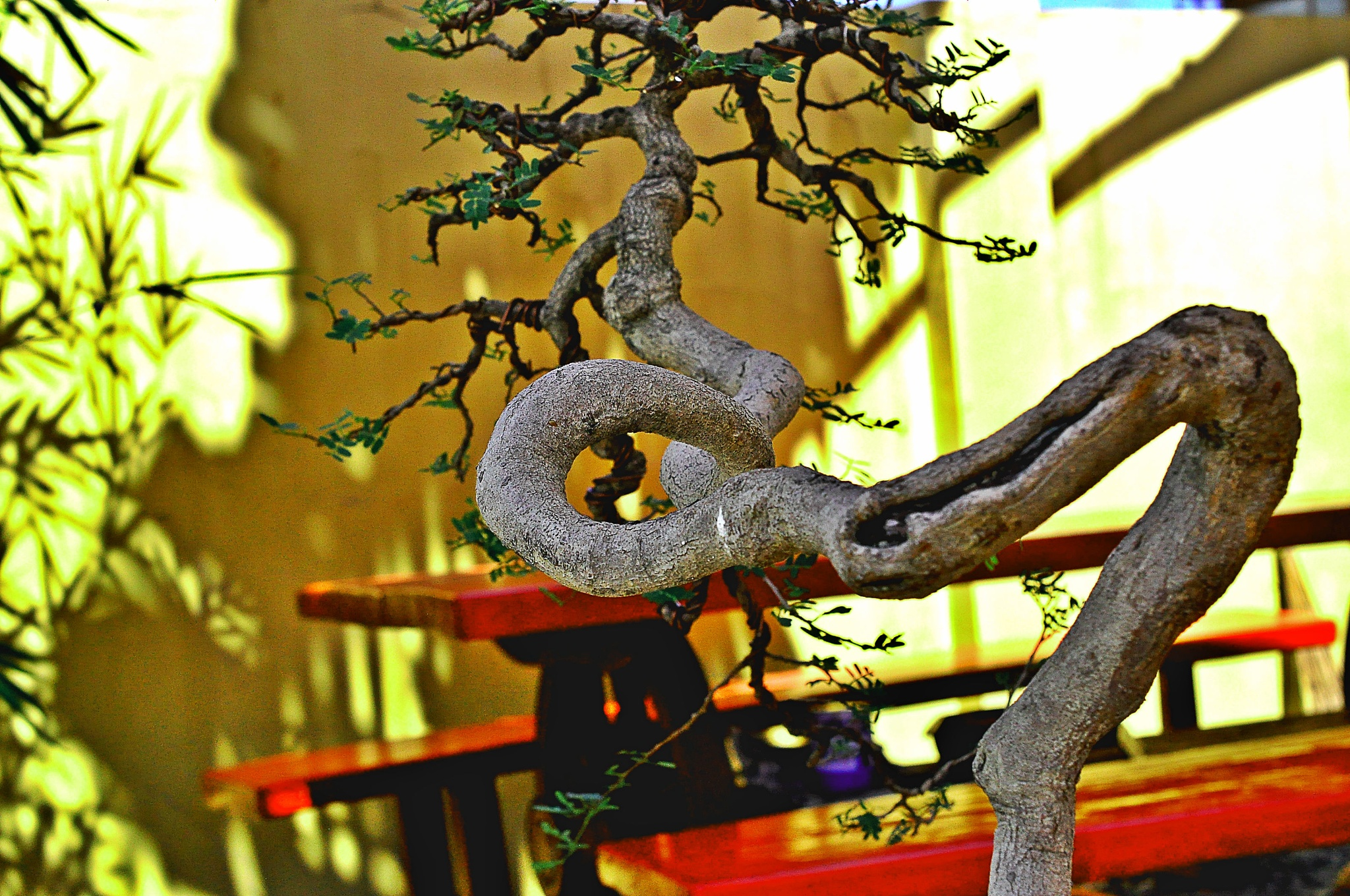 Reticulated tamarind bonsai by Rudy Tarrazona Guacena