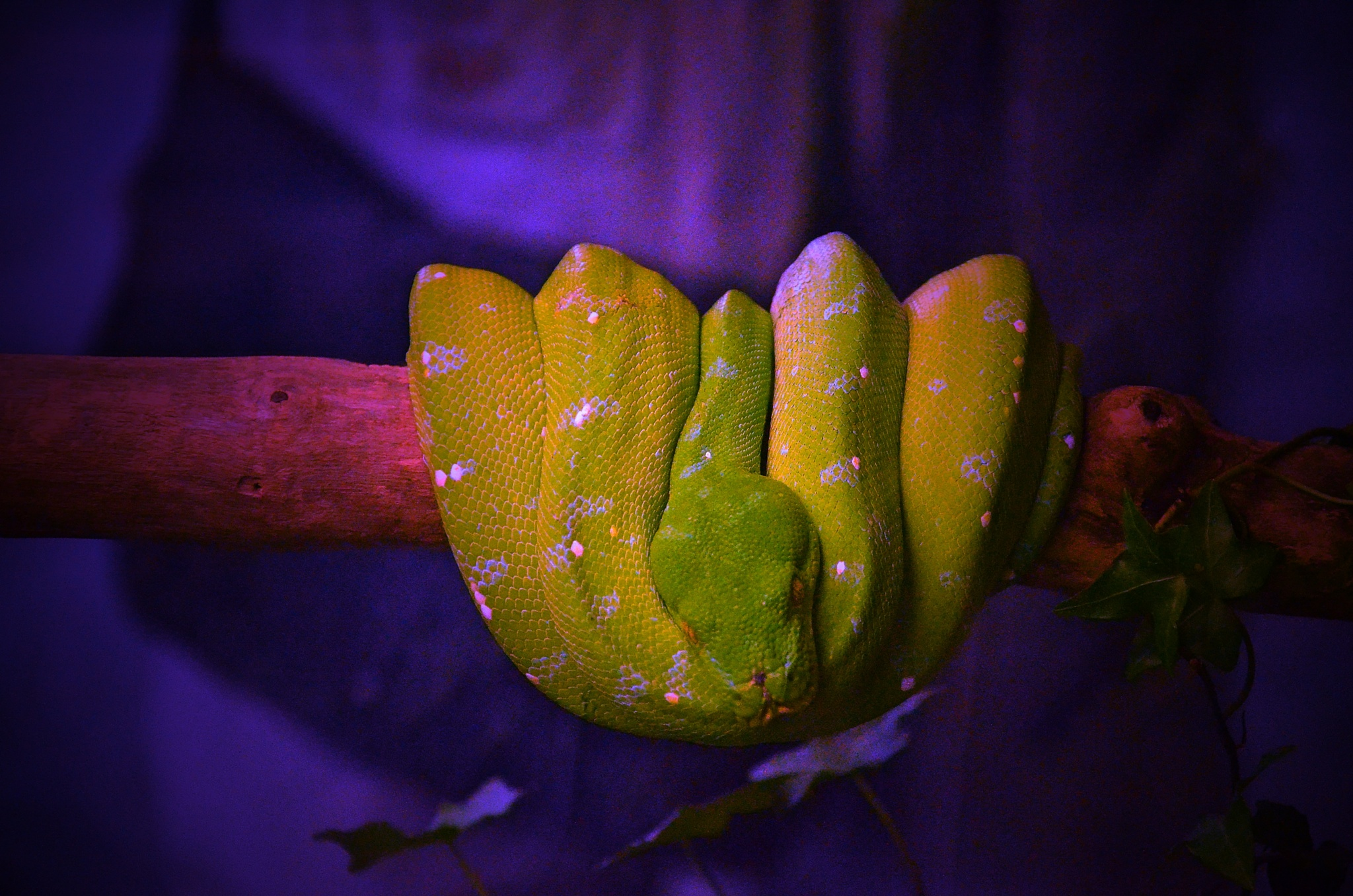 Sleeping Serpent by Rudy Tarrazona Guacena