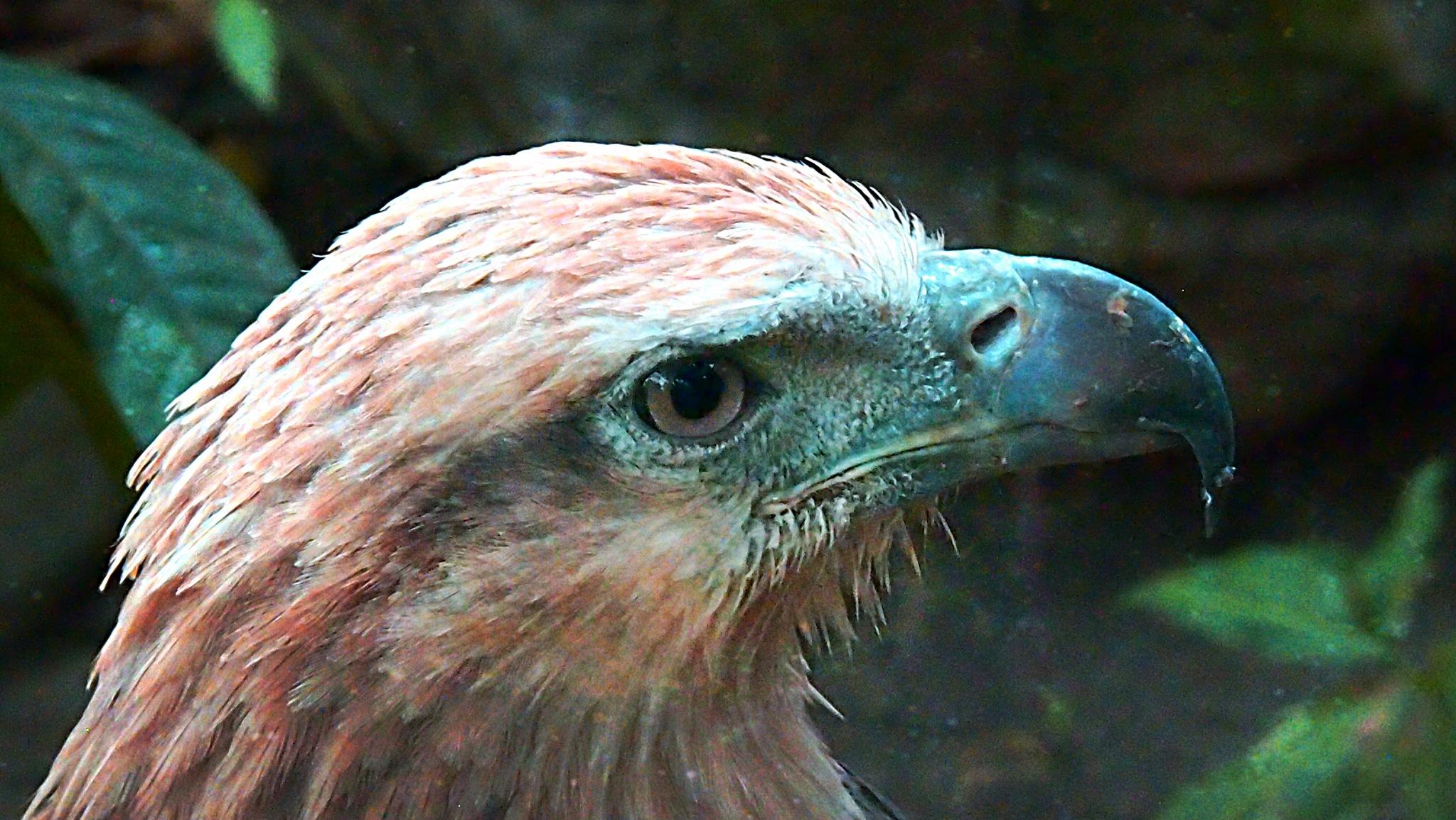 Eagle by Rudy Tarrazona Guacena