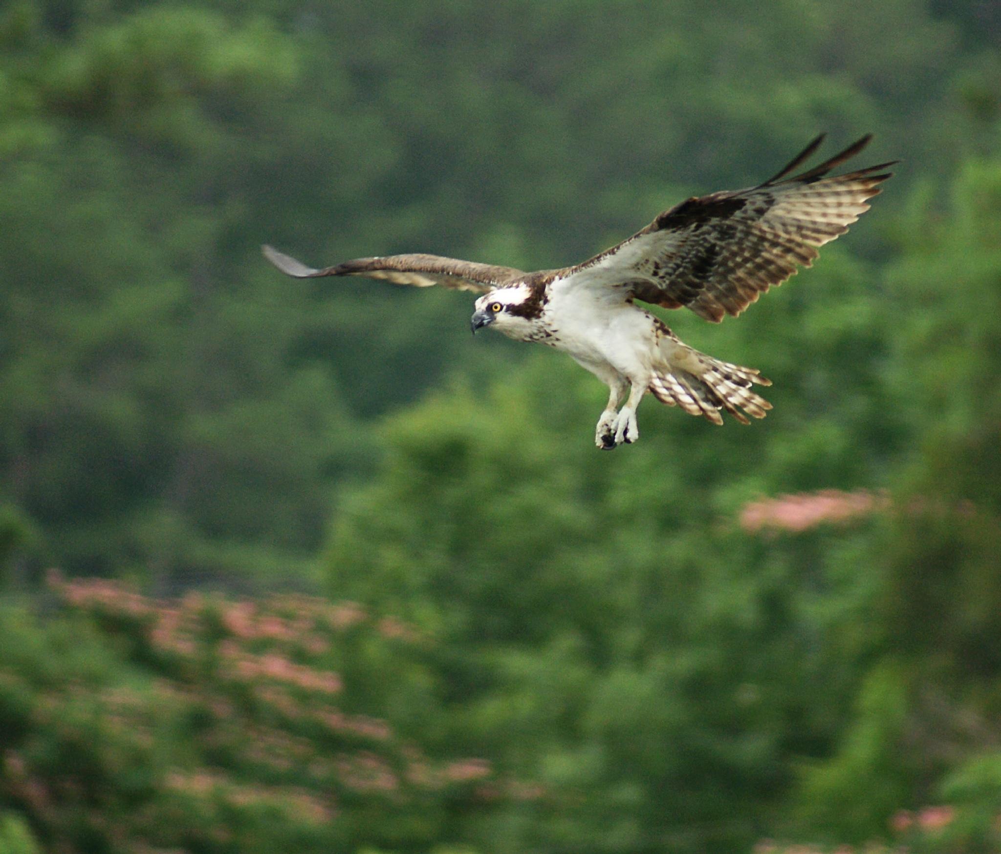 Osprey by mfontaine