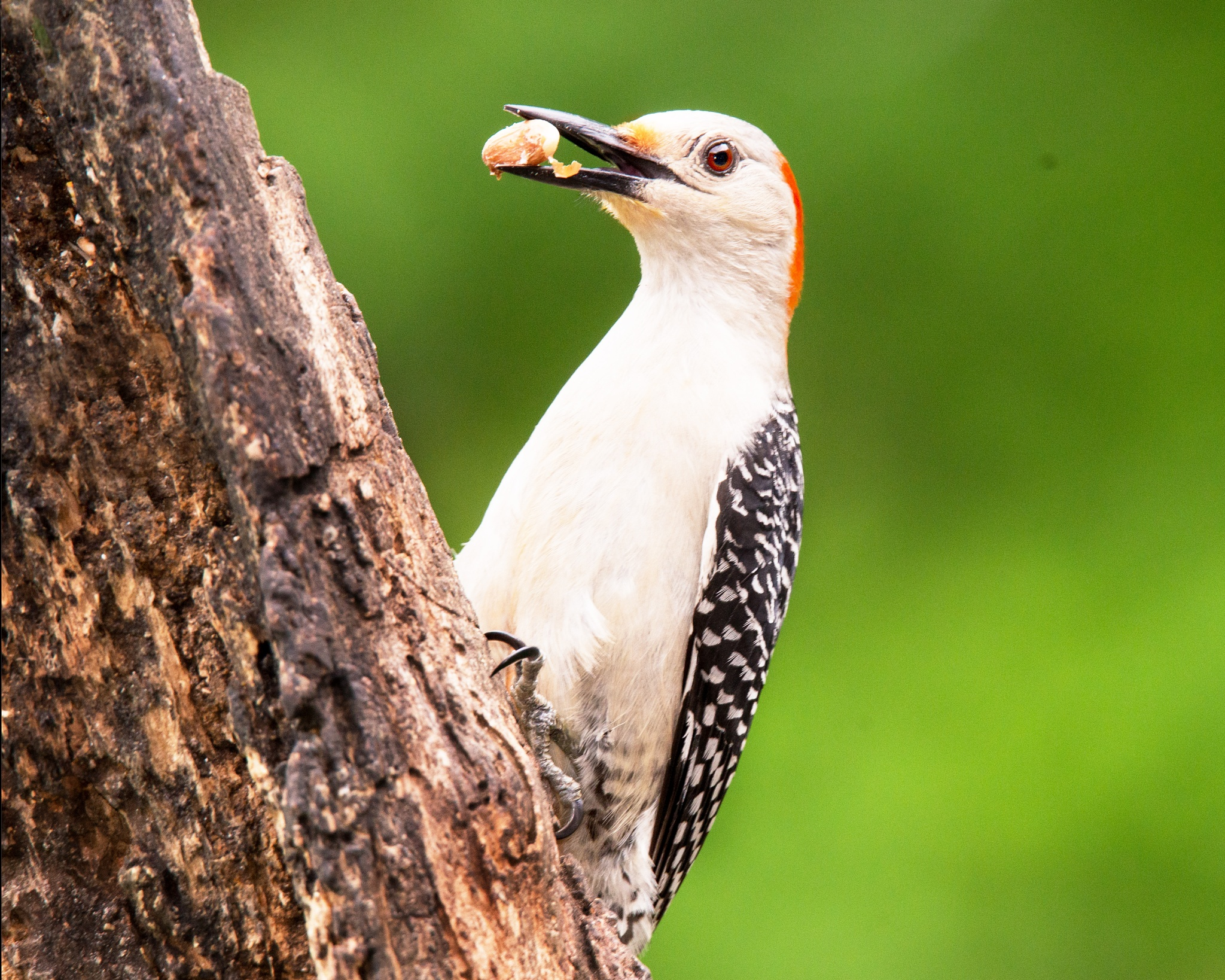 Female Red Bellied Woodpecker by mfontaine