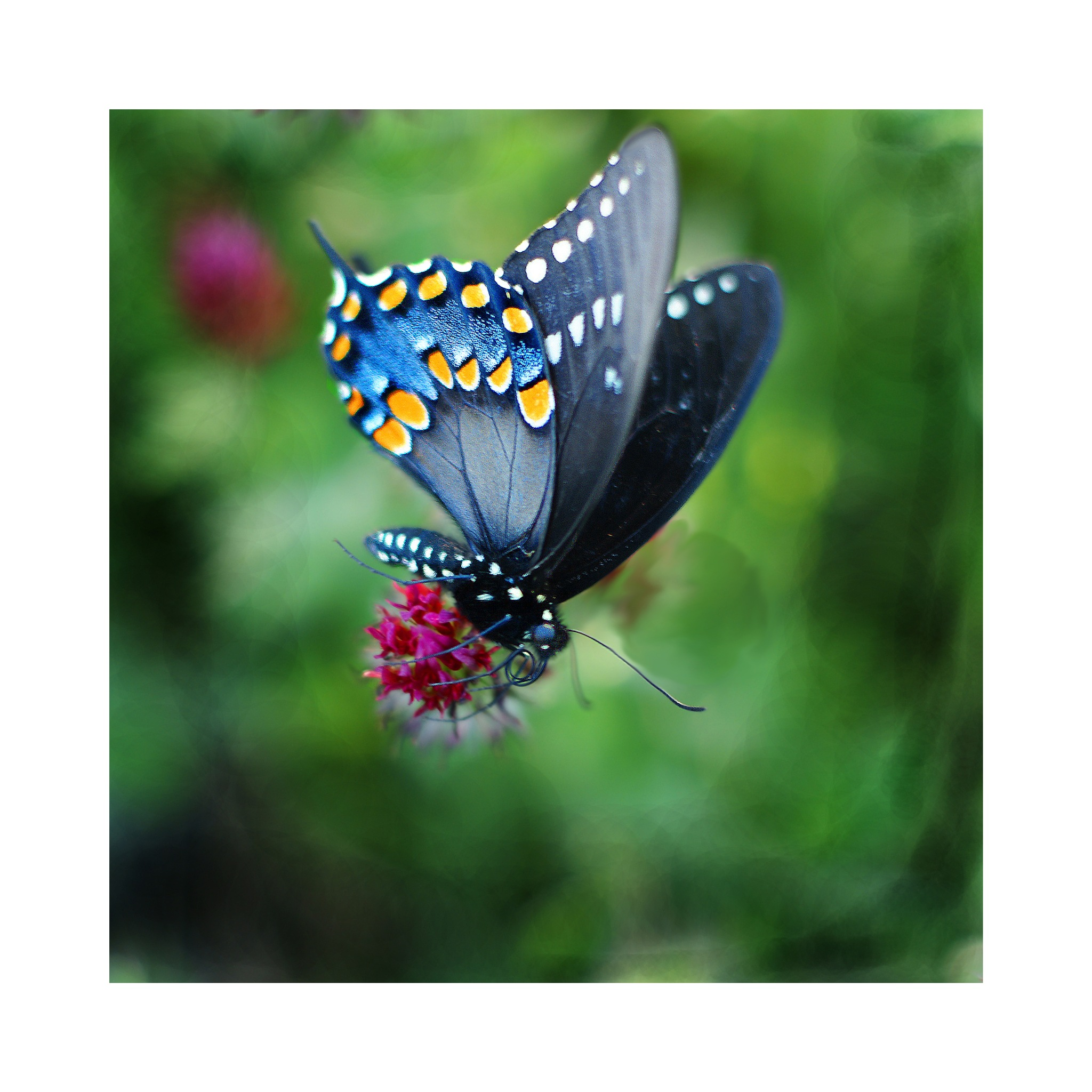 Butterfly on Clover by mfontaine