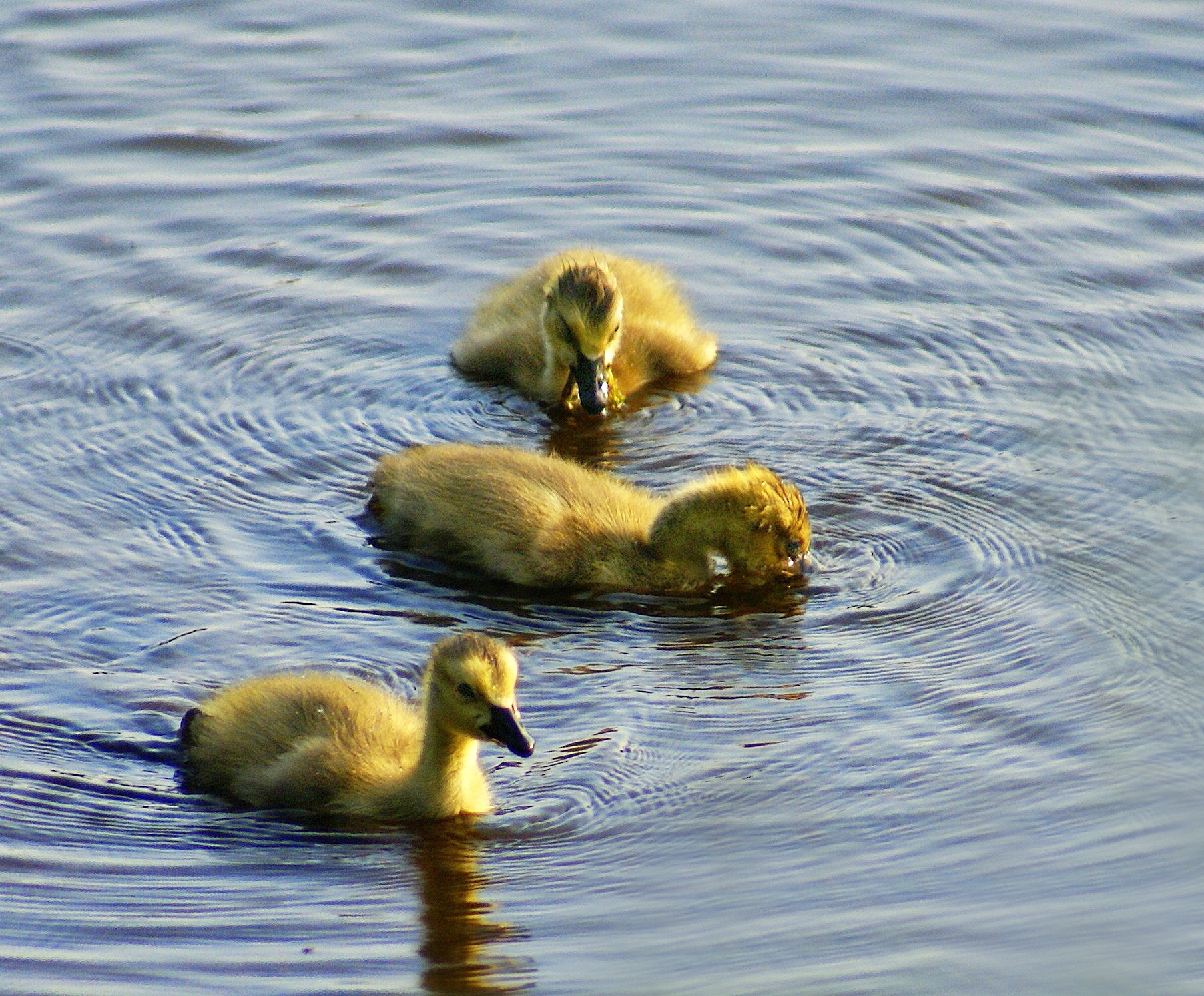 Ducklings by mfontaine