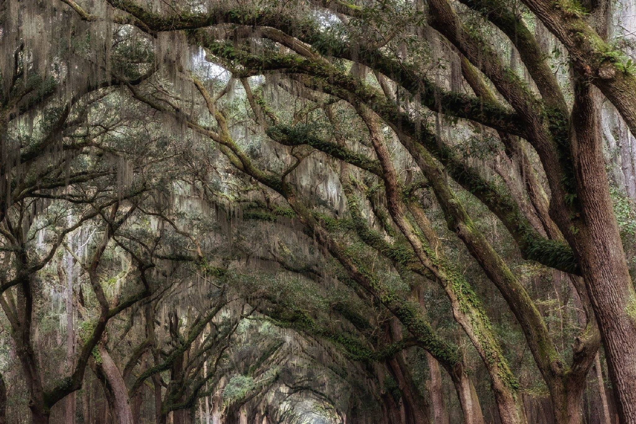 live oaks by jeraldjosey