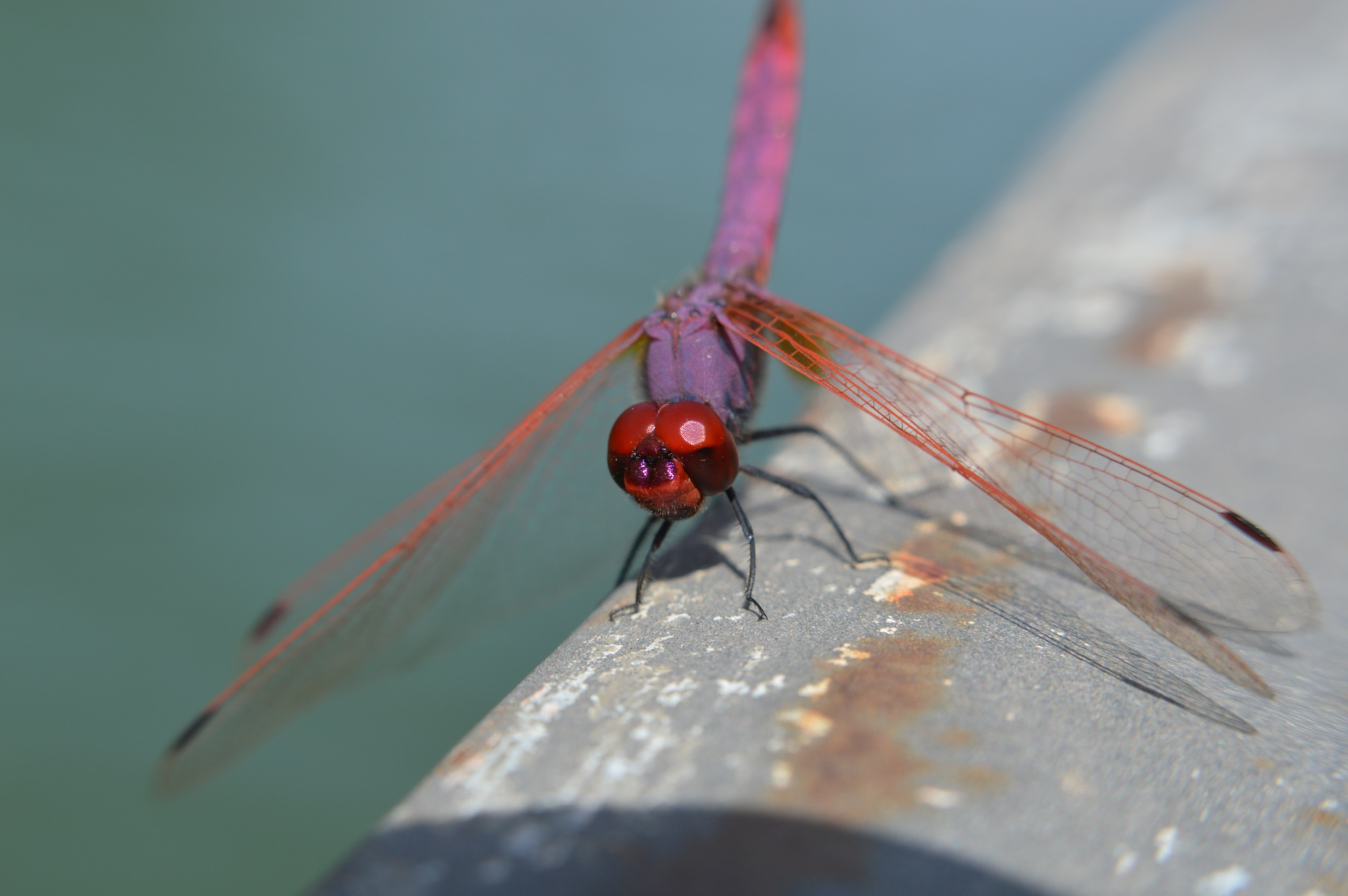 Dragonfly by Alessandro Deri