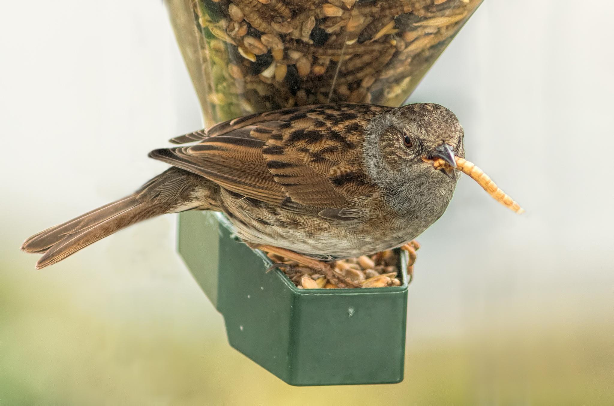 Sparrow winter feeding by Doug Wilson