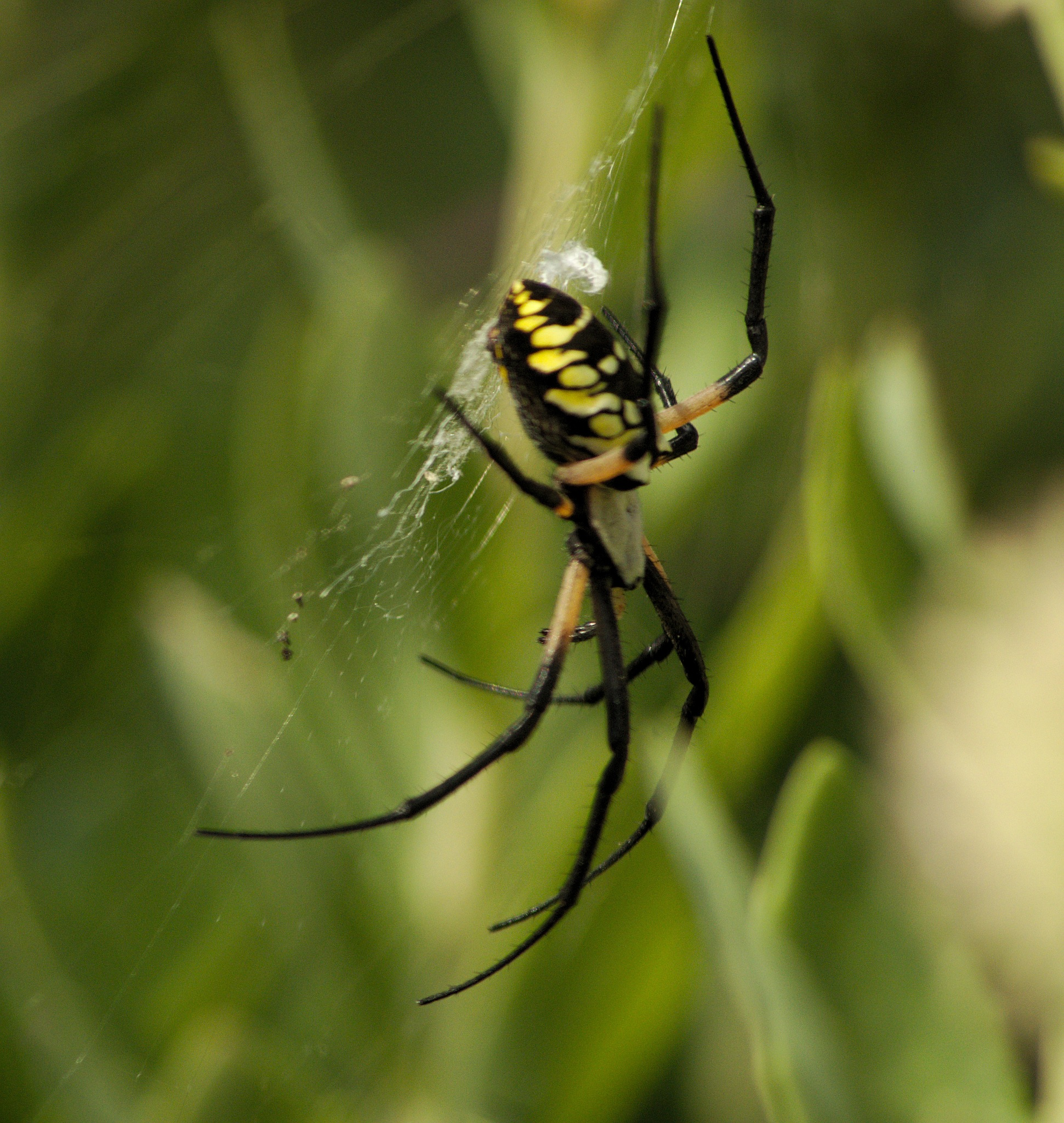 large spider by david8900