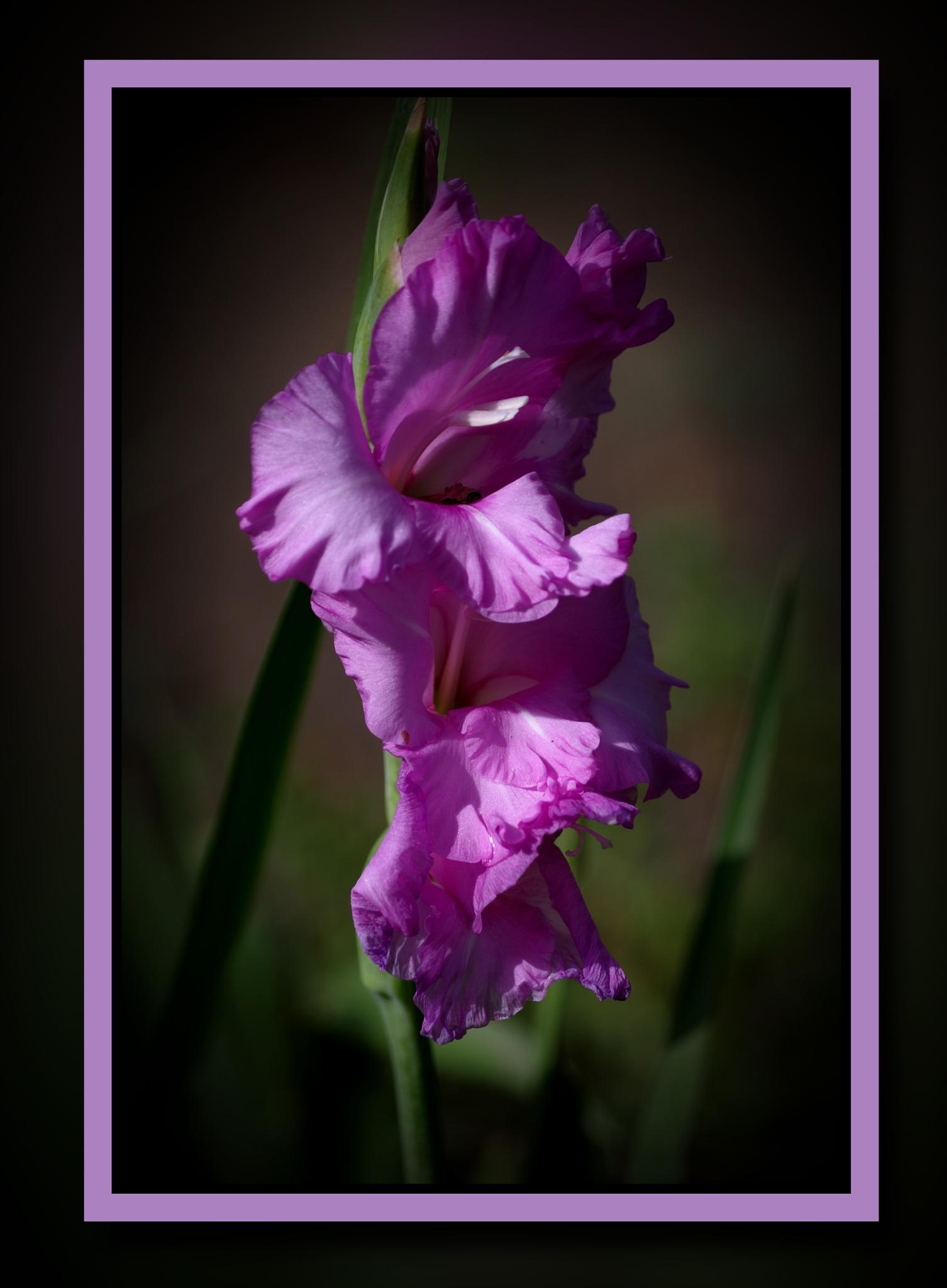 gladiola by david8900