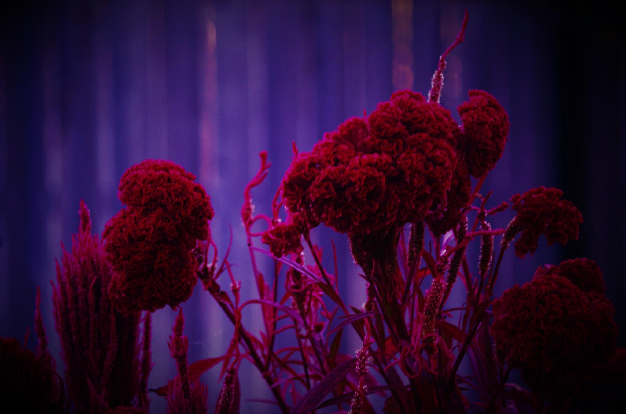 redflowers by david8900