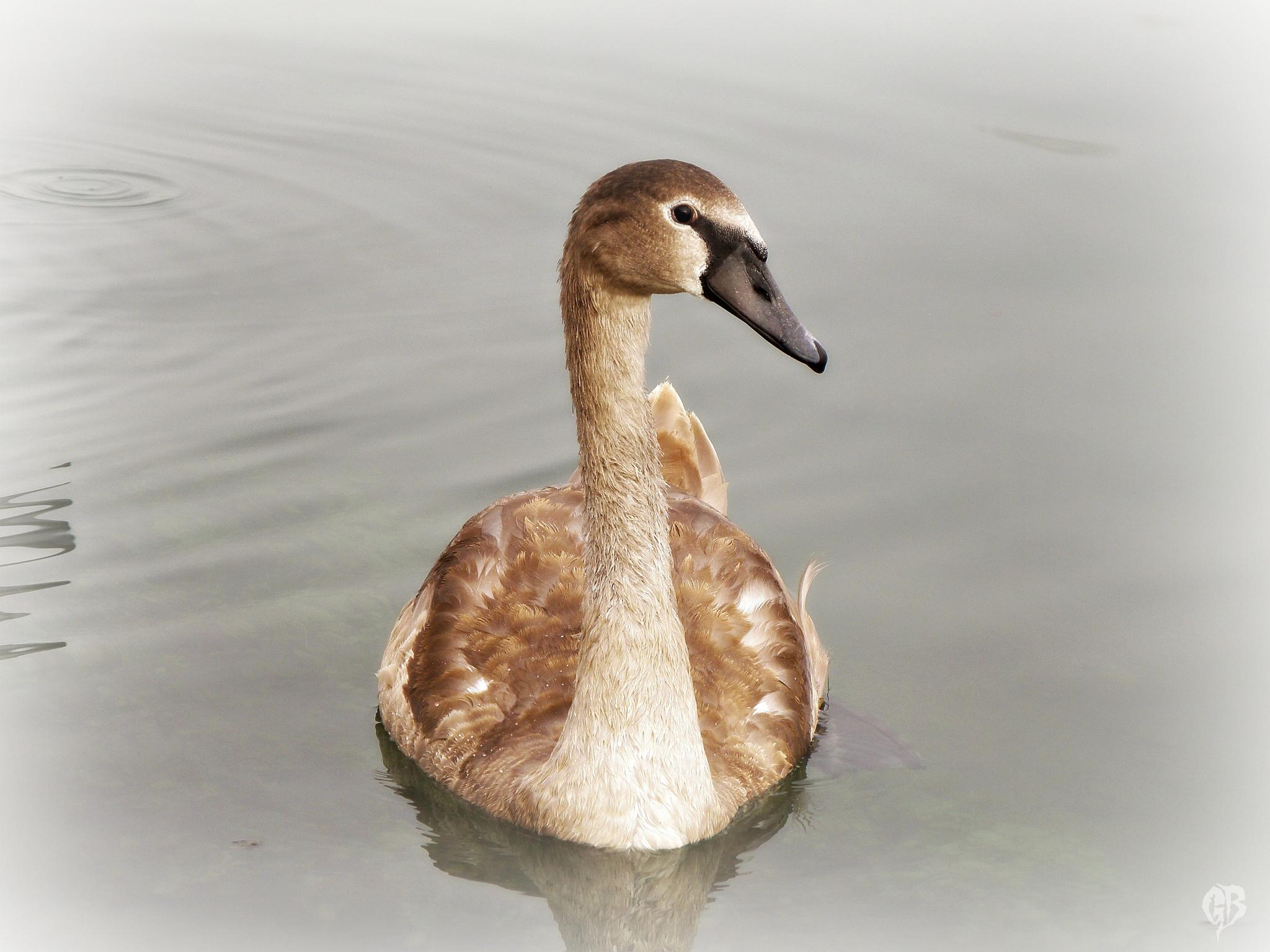 eye to eye ... the ugly duckling :) by Gara