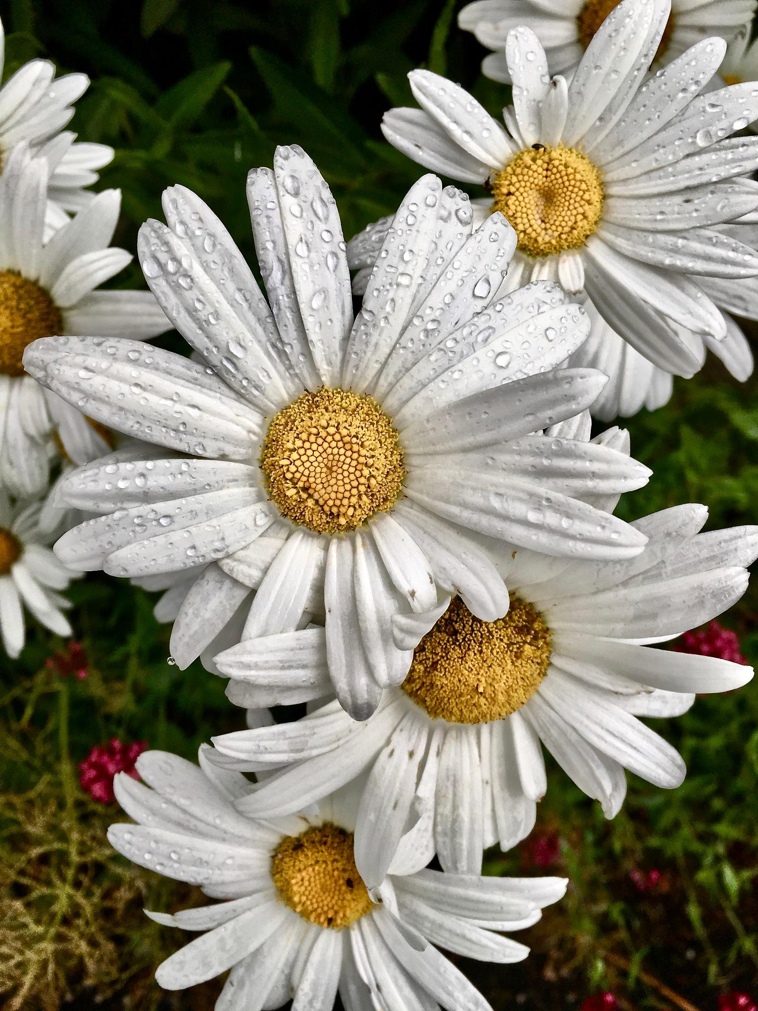 Flowers by AnjaliSisodiya