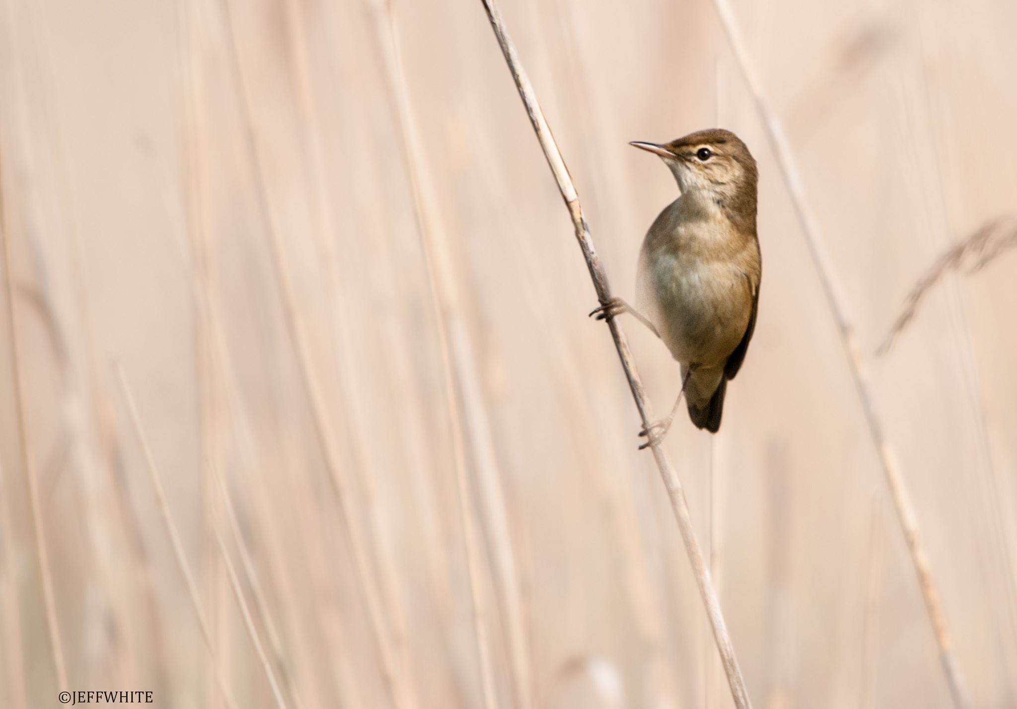warbler in the reeds by jeffwhite11