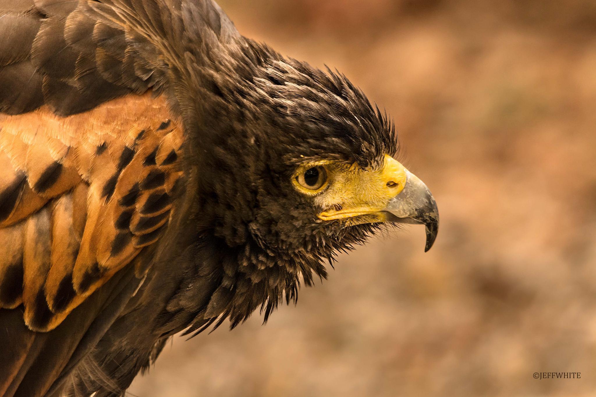 golden raptor by jeffwhite11