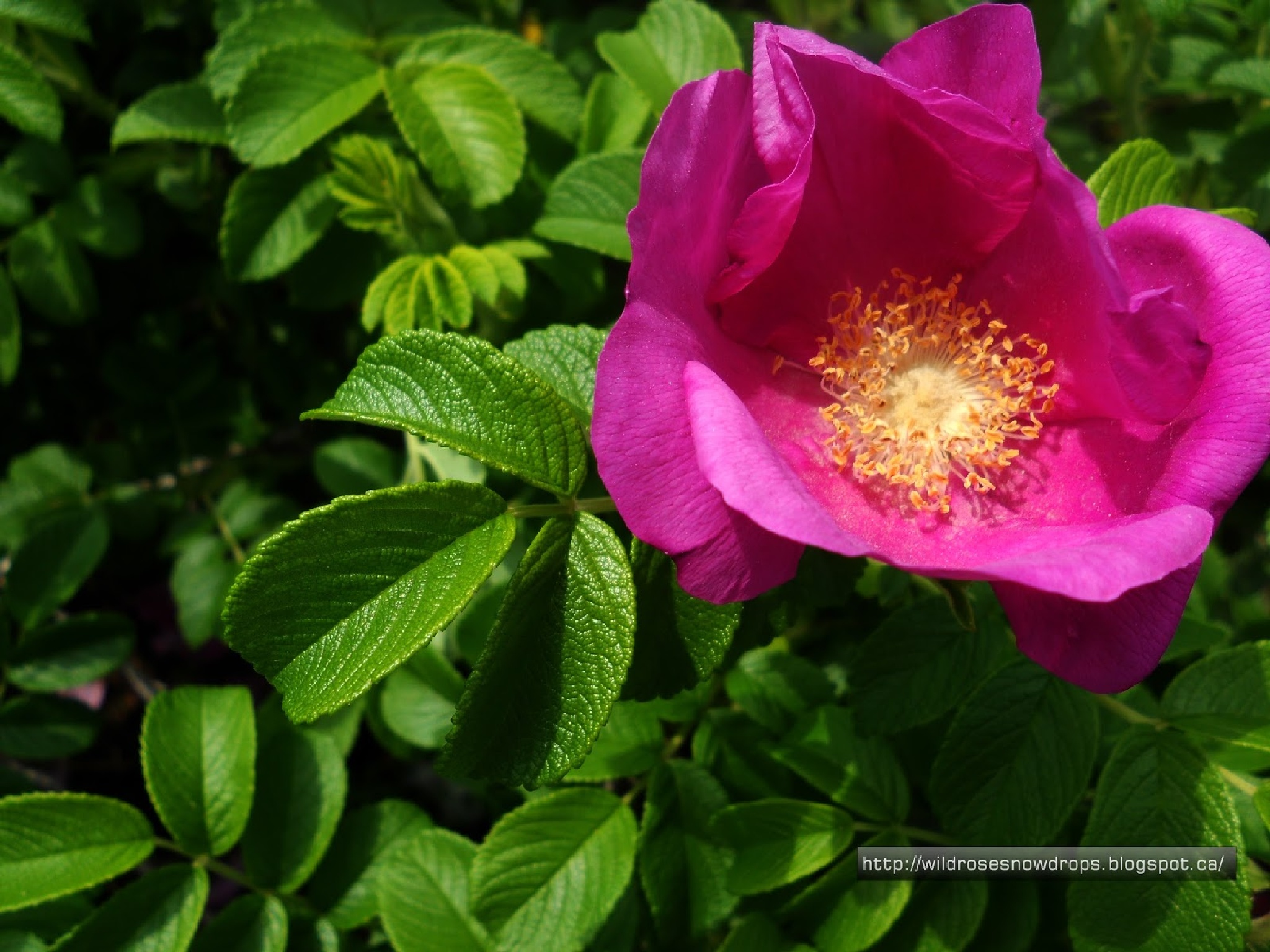 Wildrose by WildRoseSnowDrop