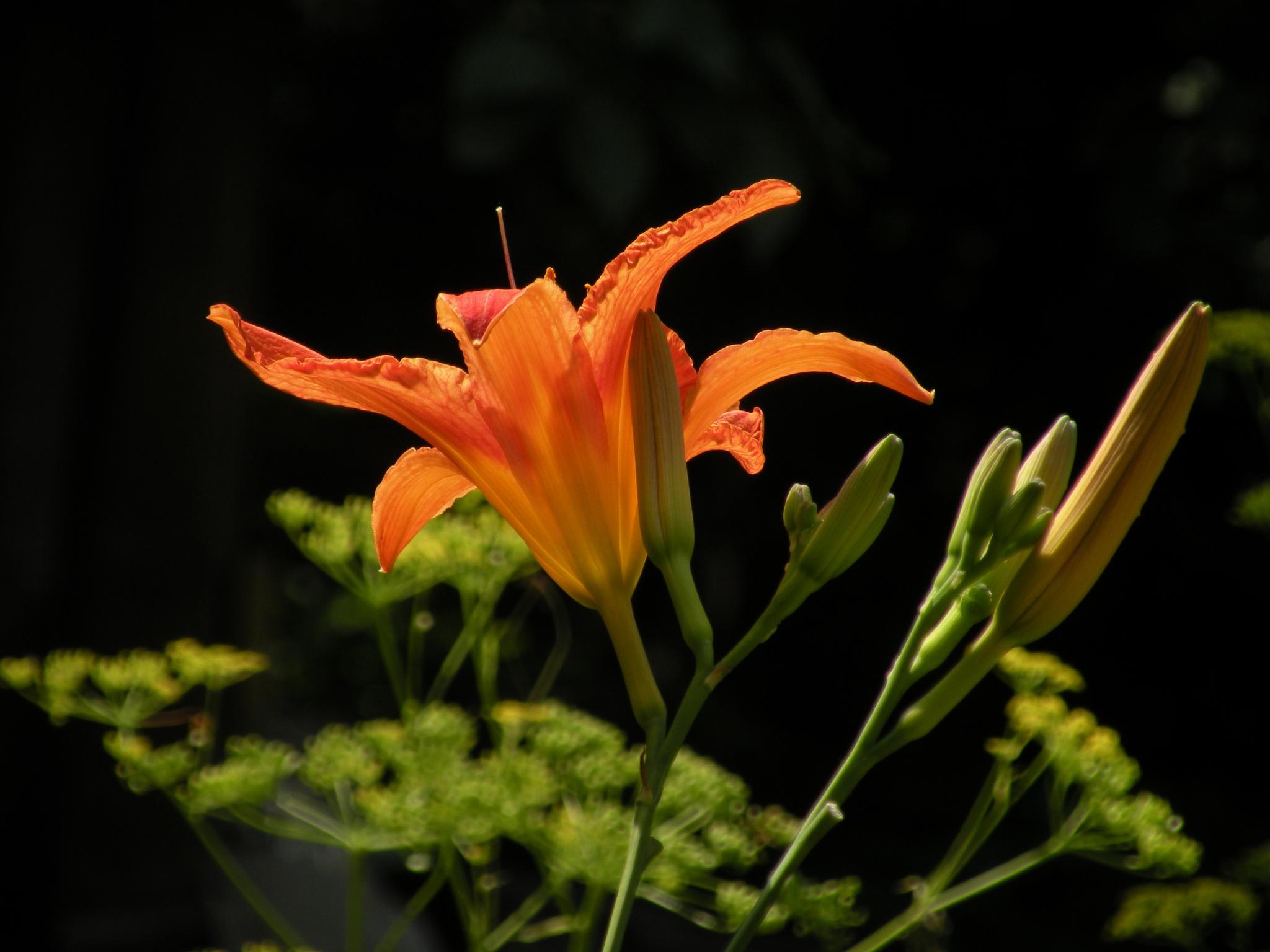 Lily flower by Alexandr  V. Seleznov