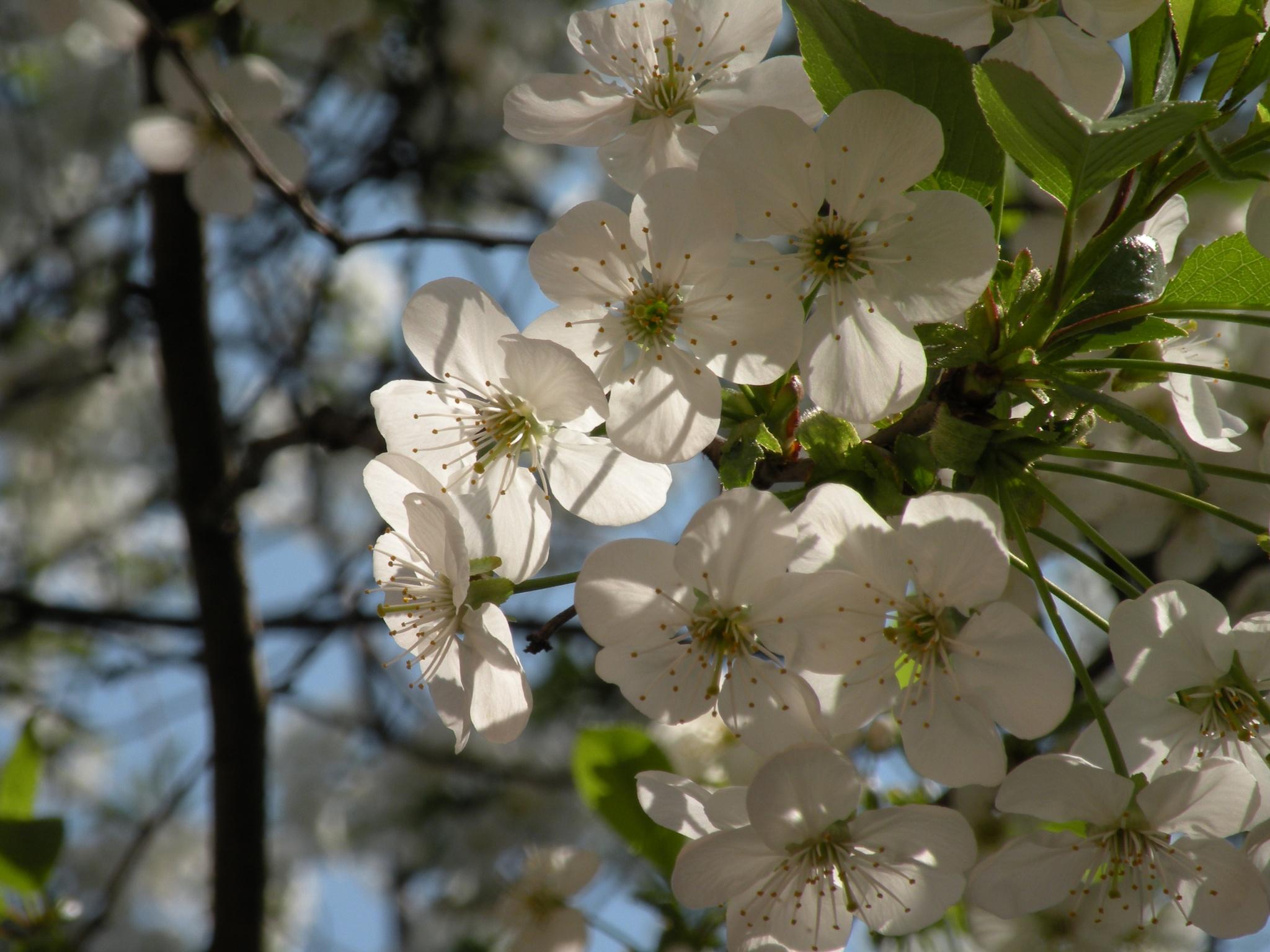 Cherry blossoms by Alexandr  V. Seleznov