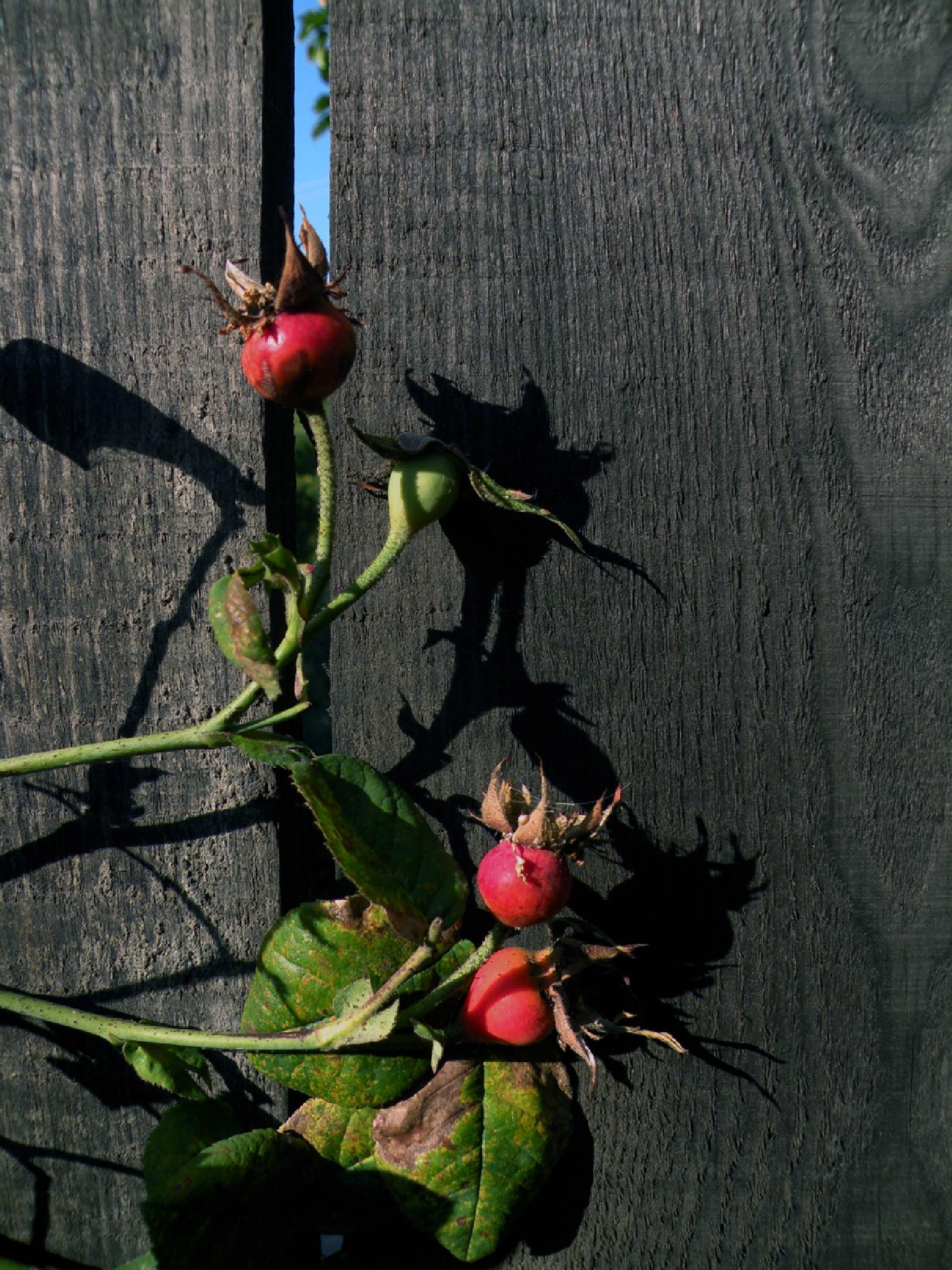 The fruit tea rose by Alexandr  V. Seleznov