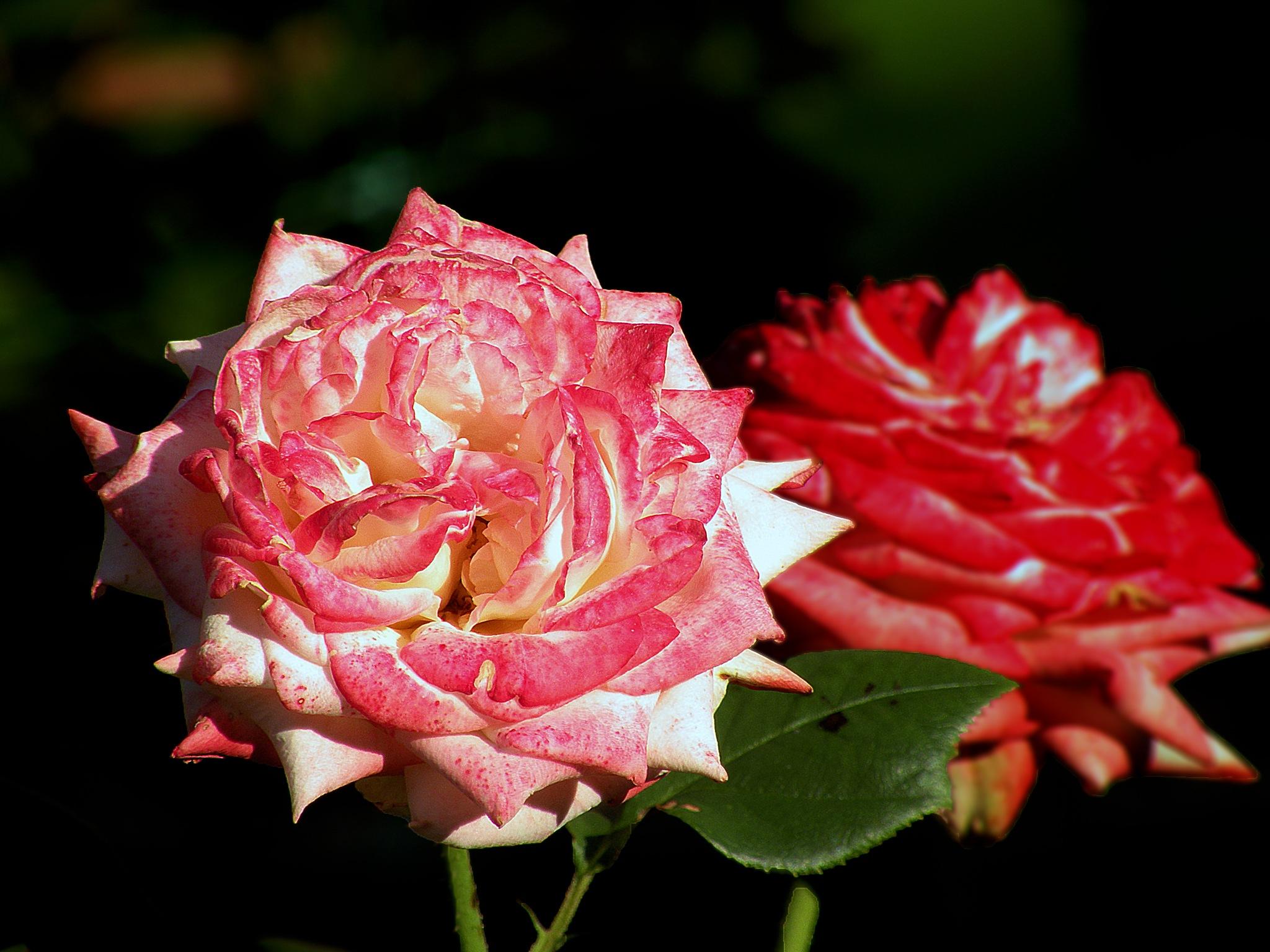 Rose by Alexandr  V. Seleznov