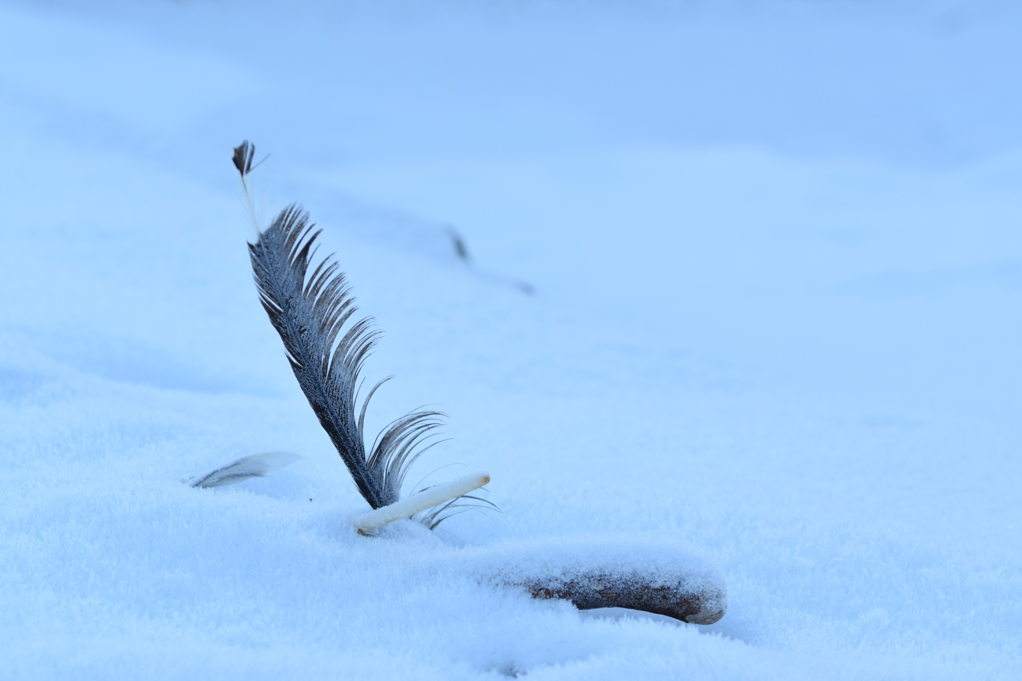 Frosty Feather by Isabelle Packendorff